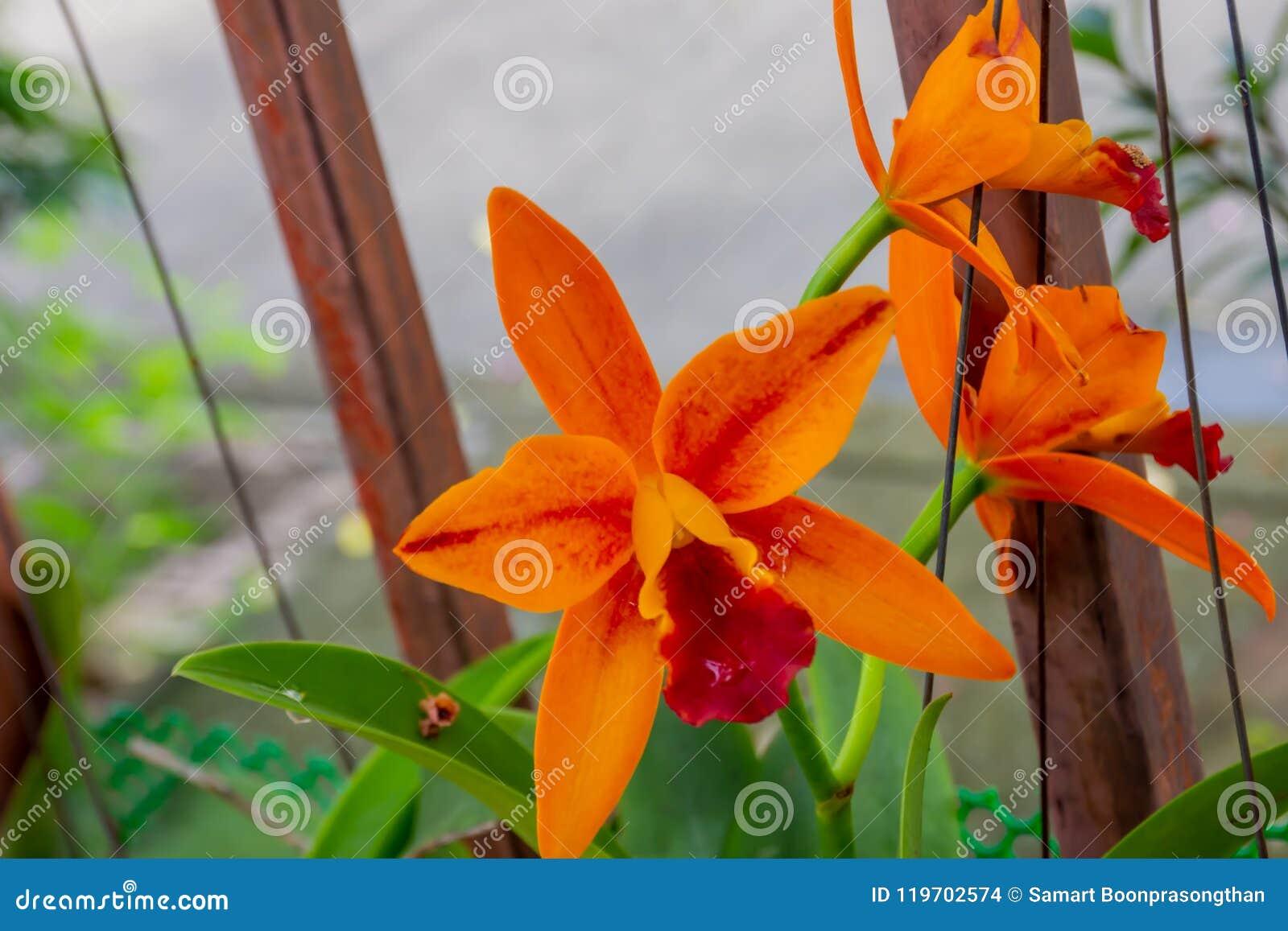 Oranje orchidee in de tuin