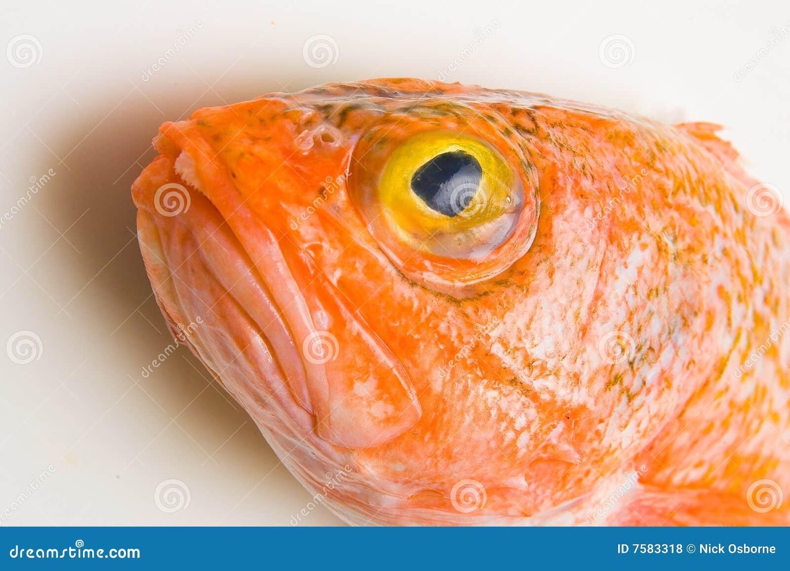 Oranje roughy hoofd