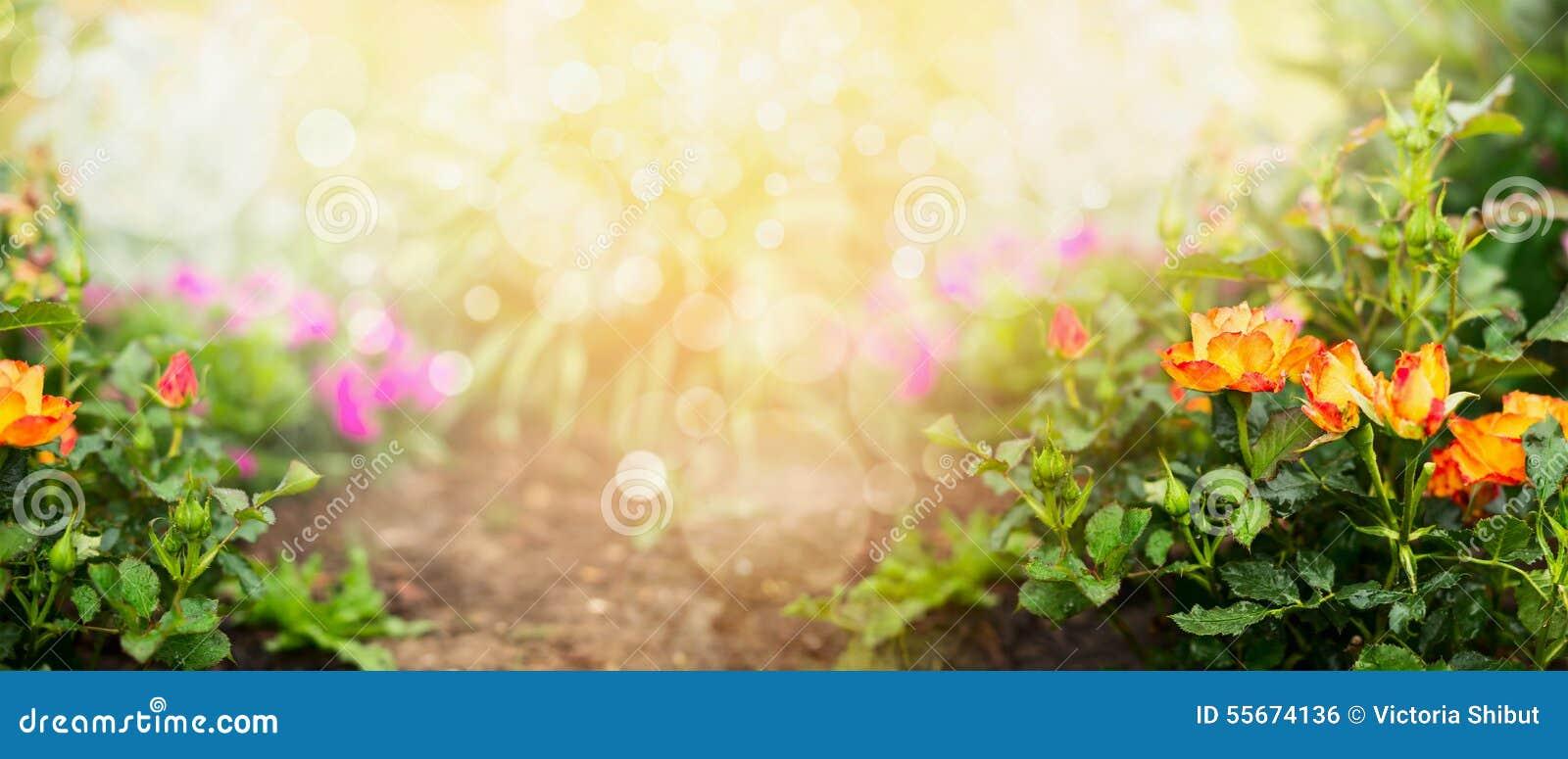 Oranje rozen op de achtergrond van de bloementuin, banner