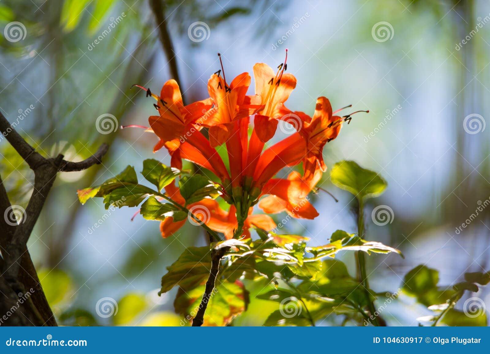 Download Oranje Trompet, Vlambloem, Fire-cracker Wijnstokblad Stock Afbeelding - Afbeelding bestaande uit naughty, rood: 104630917