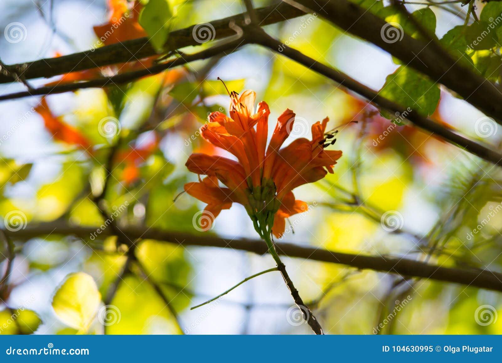 Download Oranje Trompet, Vlambloem, Fire-cracker Wijnstokblad Stock Afbeelding - Afbeelding bestaande uit nave, blad: 104630995