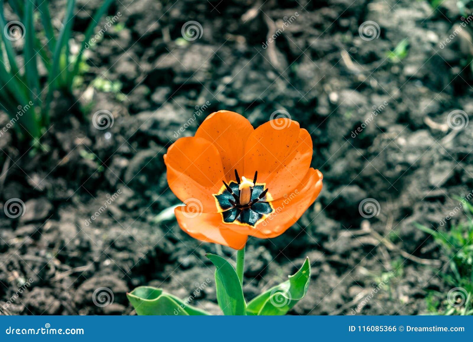 Oranje Tulip Macro