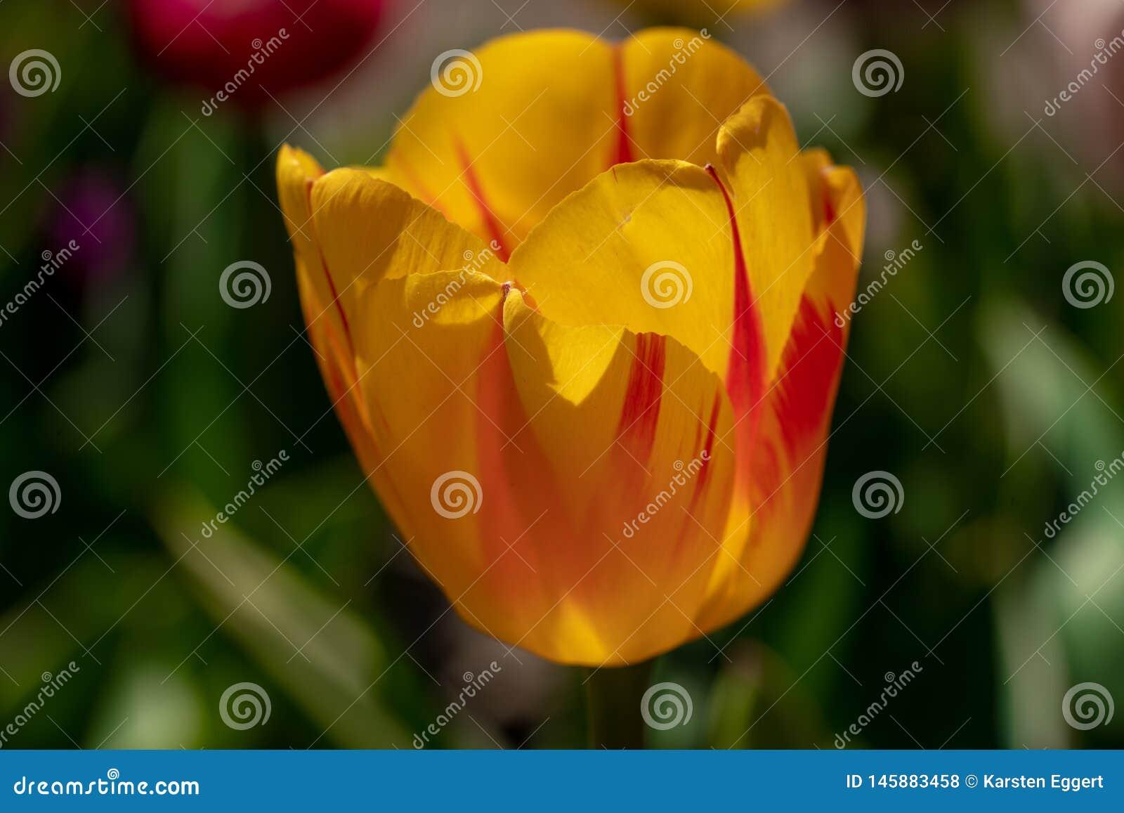 Oranje tulpentribunes voor een tulpengebied