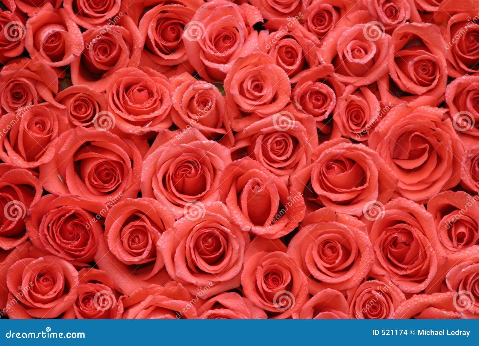 Oraqnge被包装的玫瑰端