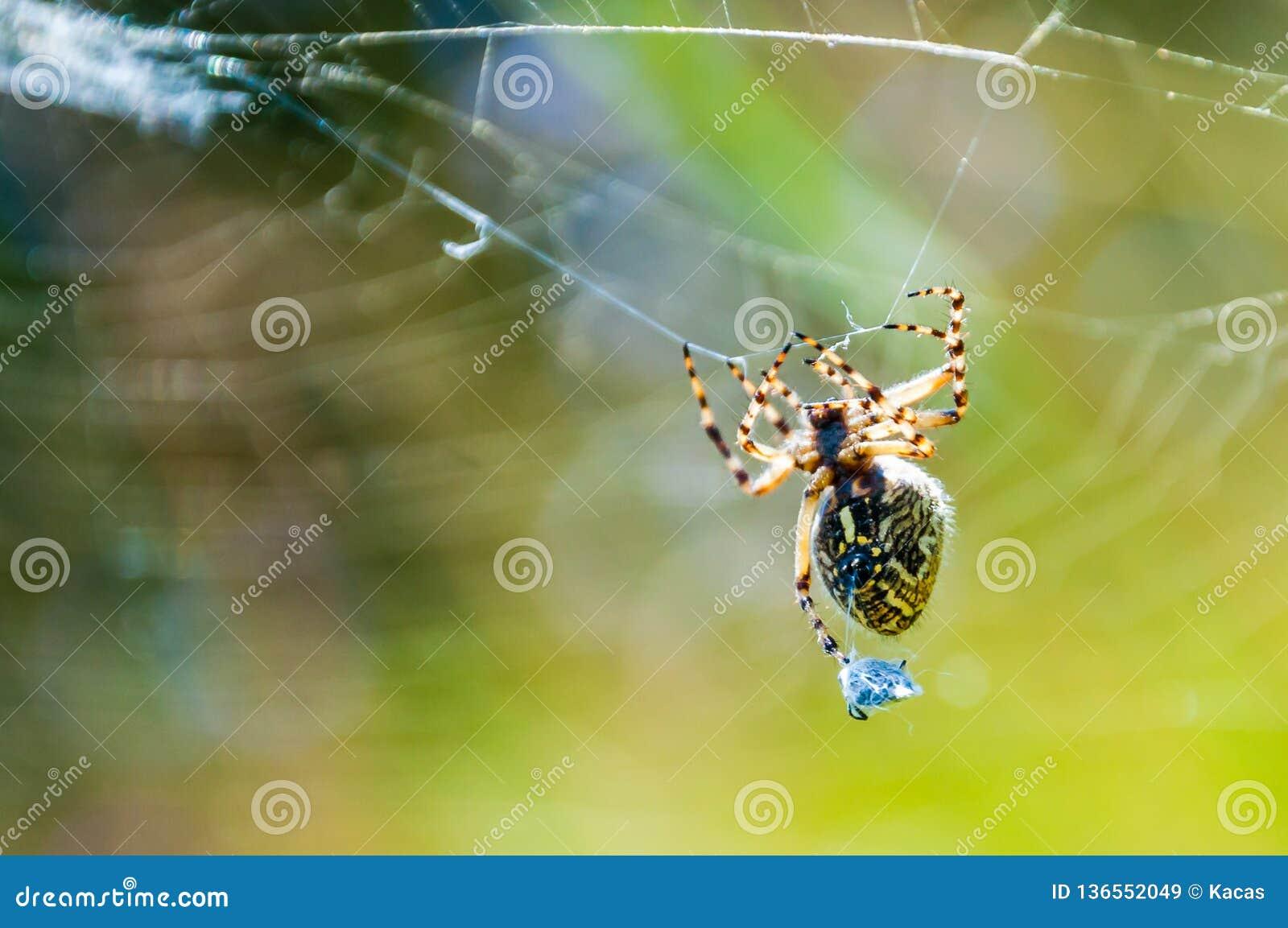 Orb-vävaren spindeln Araneid fångade ett rov på hans spiderweb och trasslade det med rengöringsduktrådar till