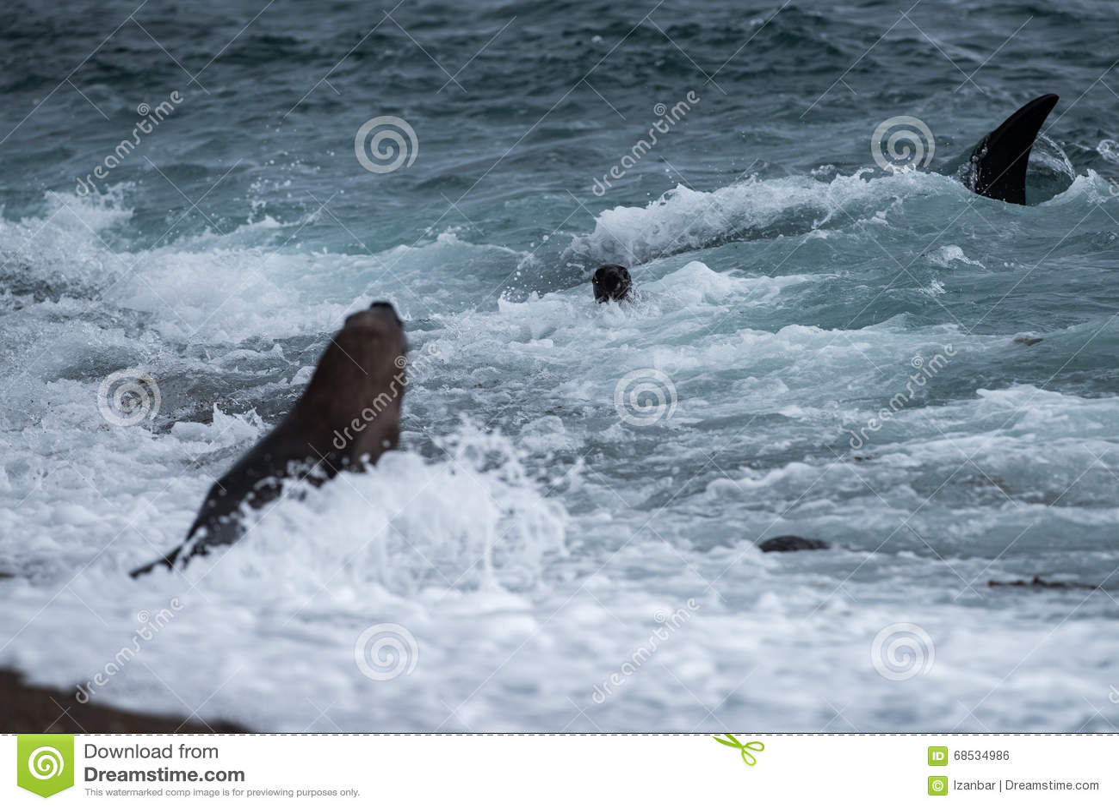 Killer Whale Attacks Seal On Beach