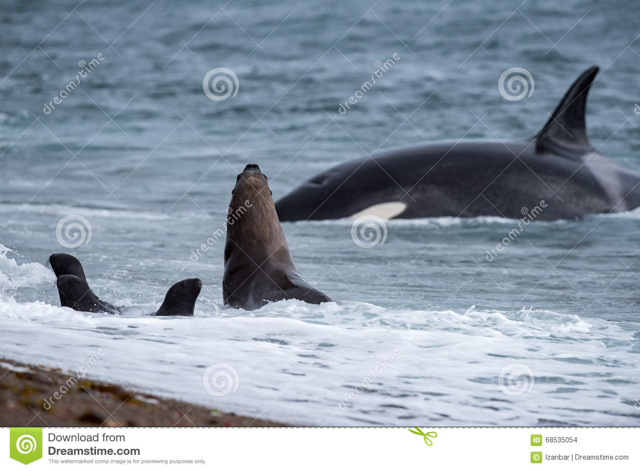 orca attack a seal on the beach stock photo - image of antarctica