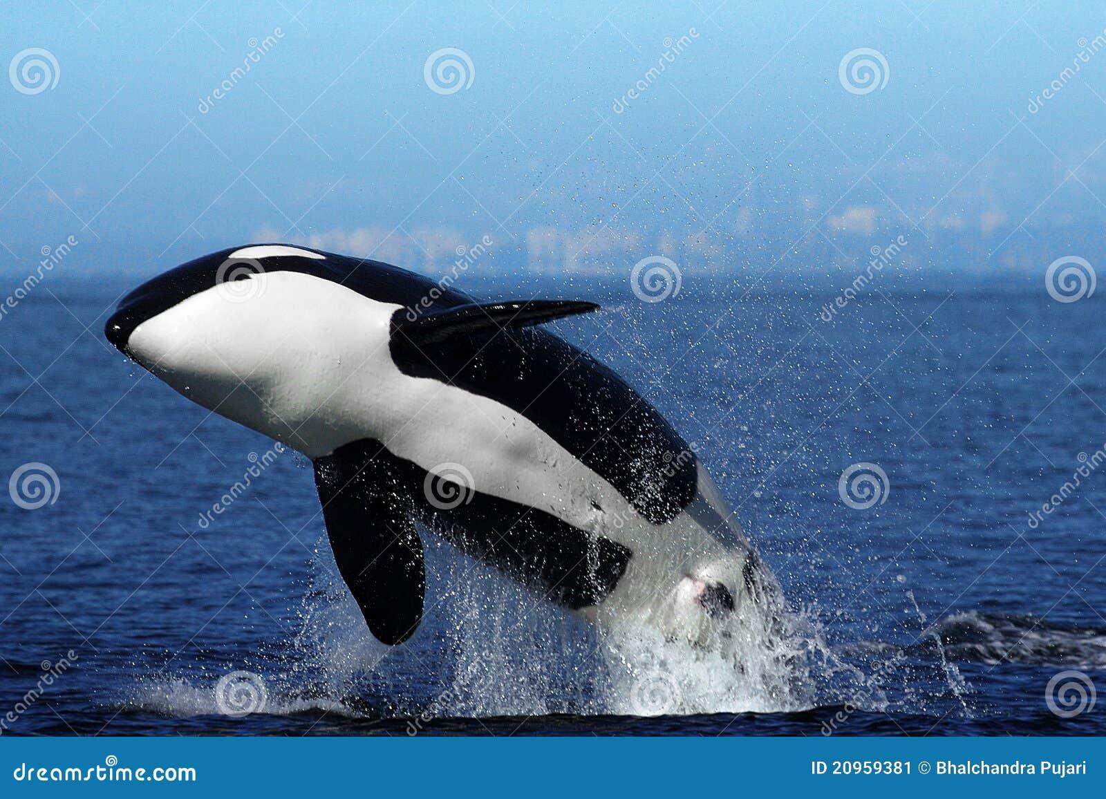 Orca (Killer Whale) breaching