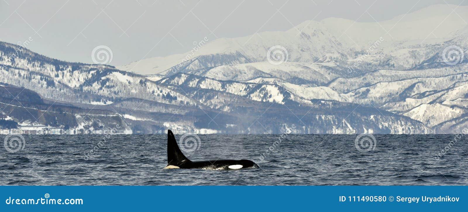 Orca or killer whale, Orcinus Orca.