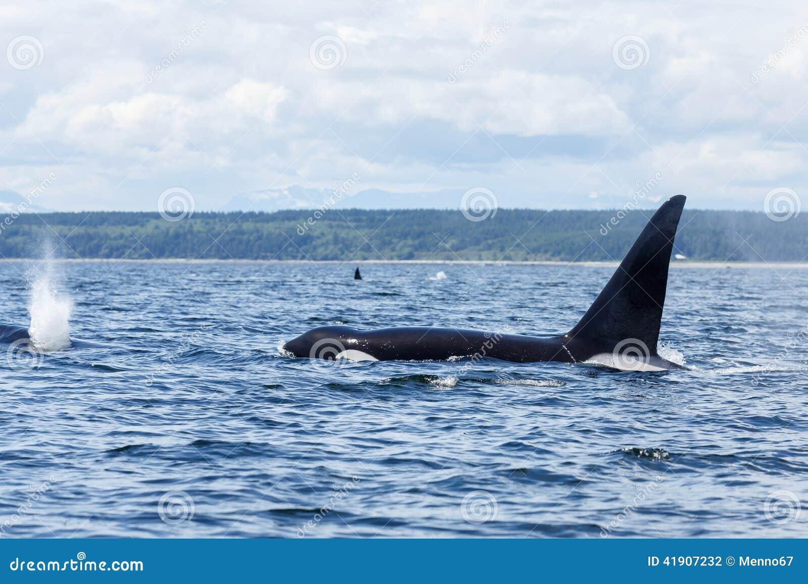 Orca o orca