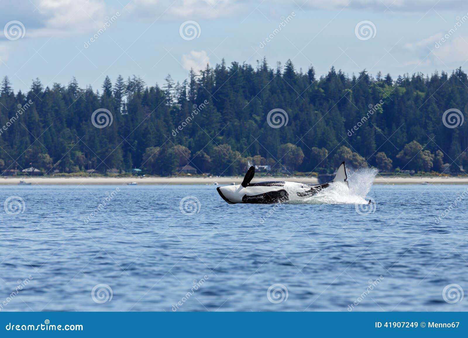 Orca o orca de salto