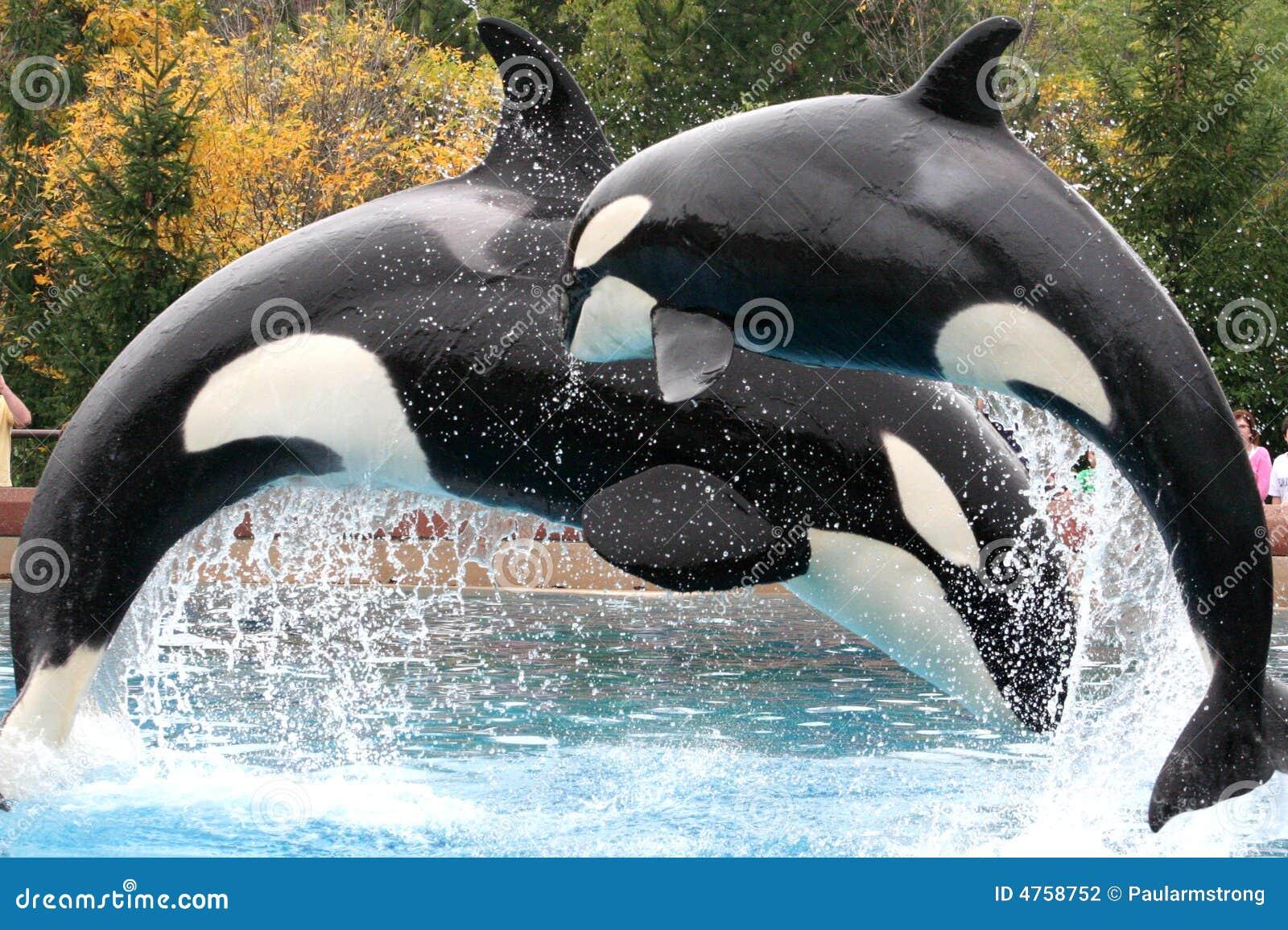 Orca s