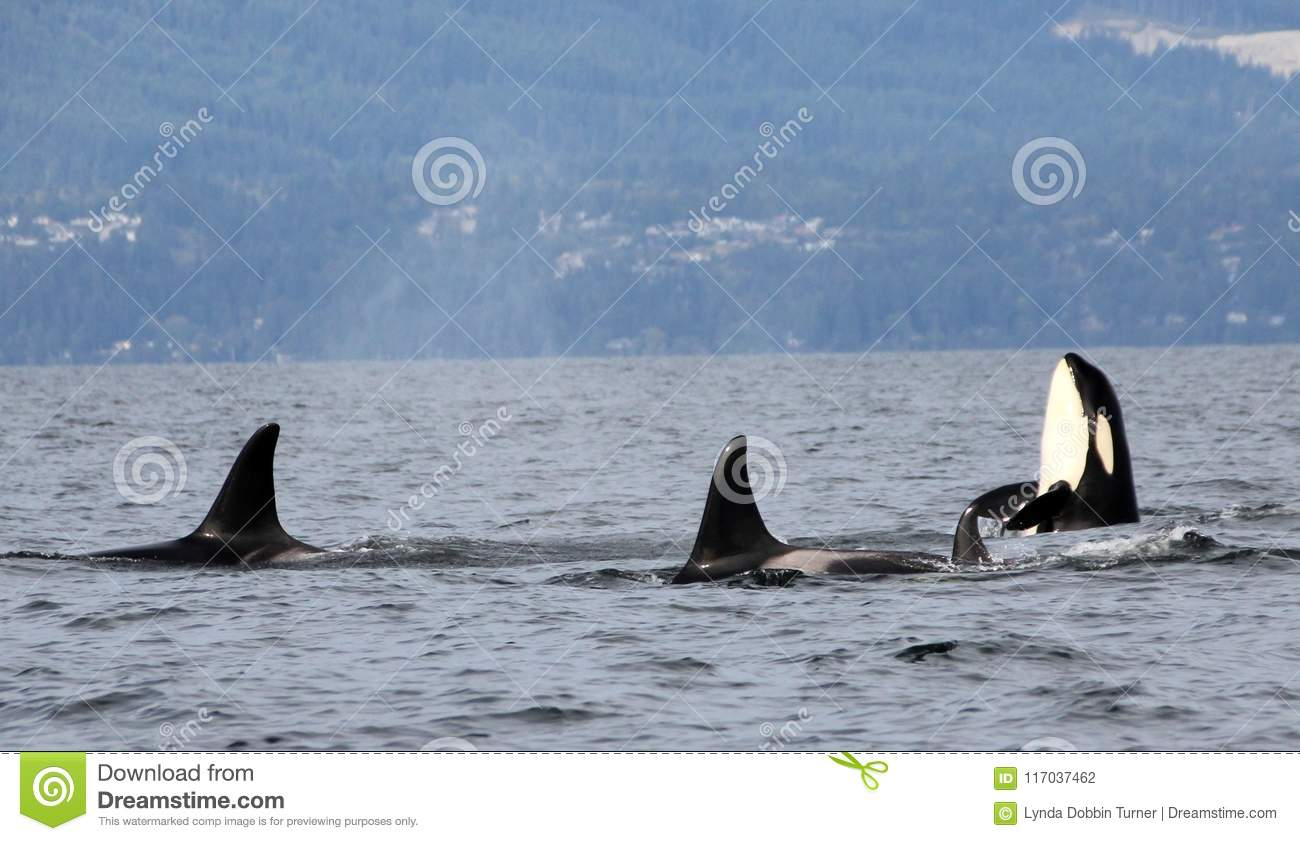 Orca Spy hopping with Pod of Resident Orcas of the coast near Sechelt, BC