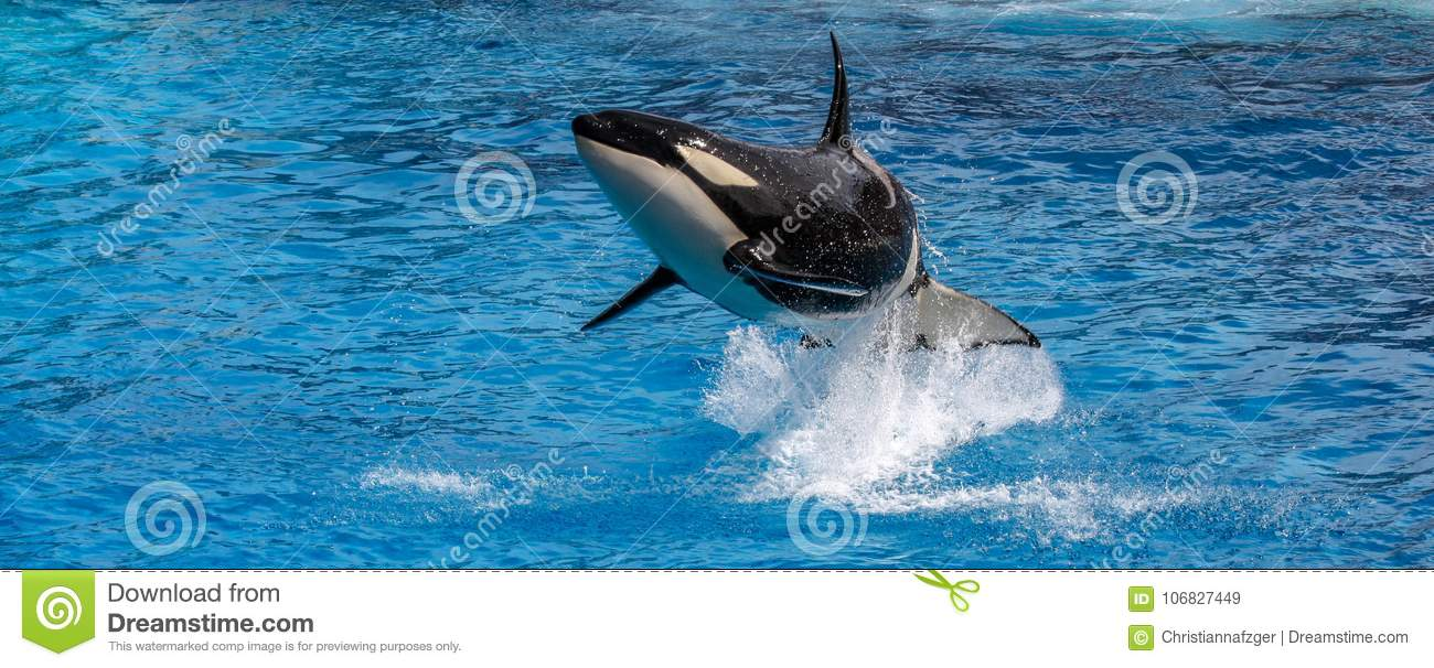 Orca whale jumping out of the ocean