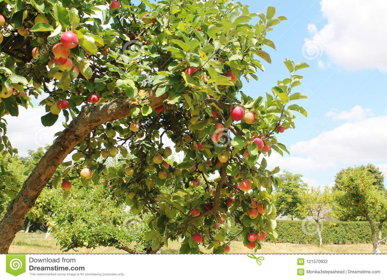 Orchand яблонь