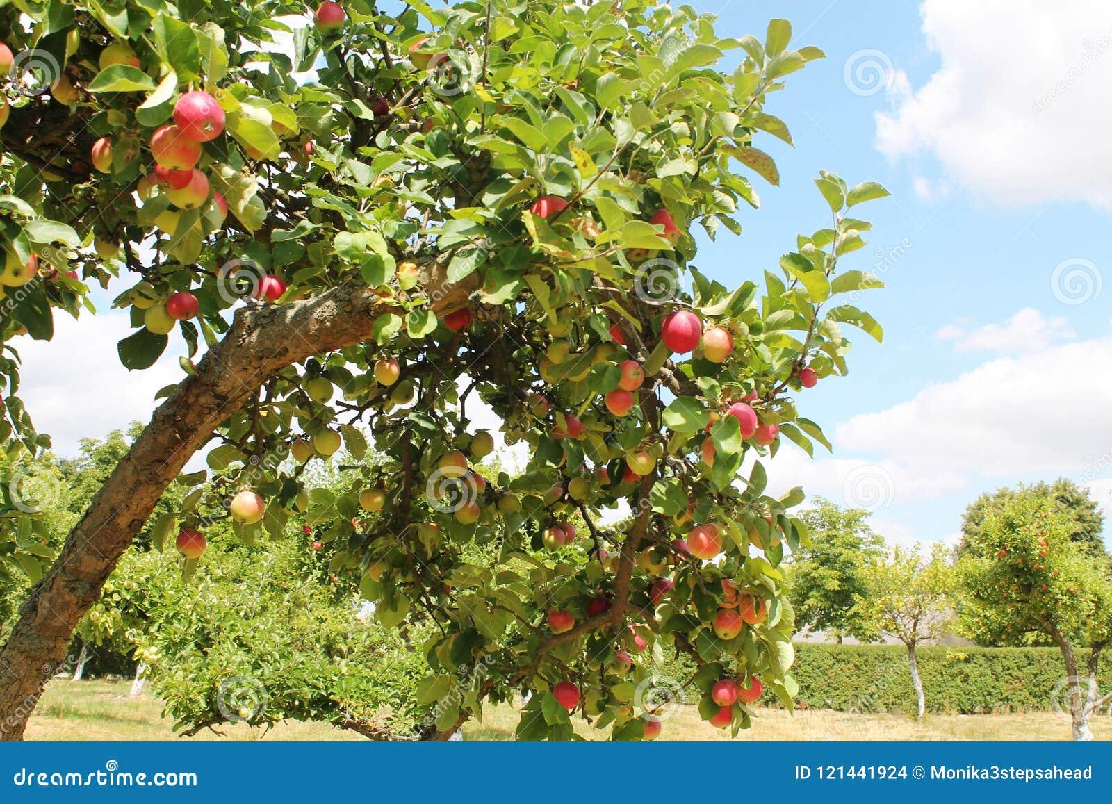 Orchand de los manzanos