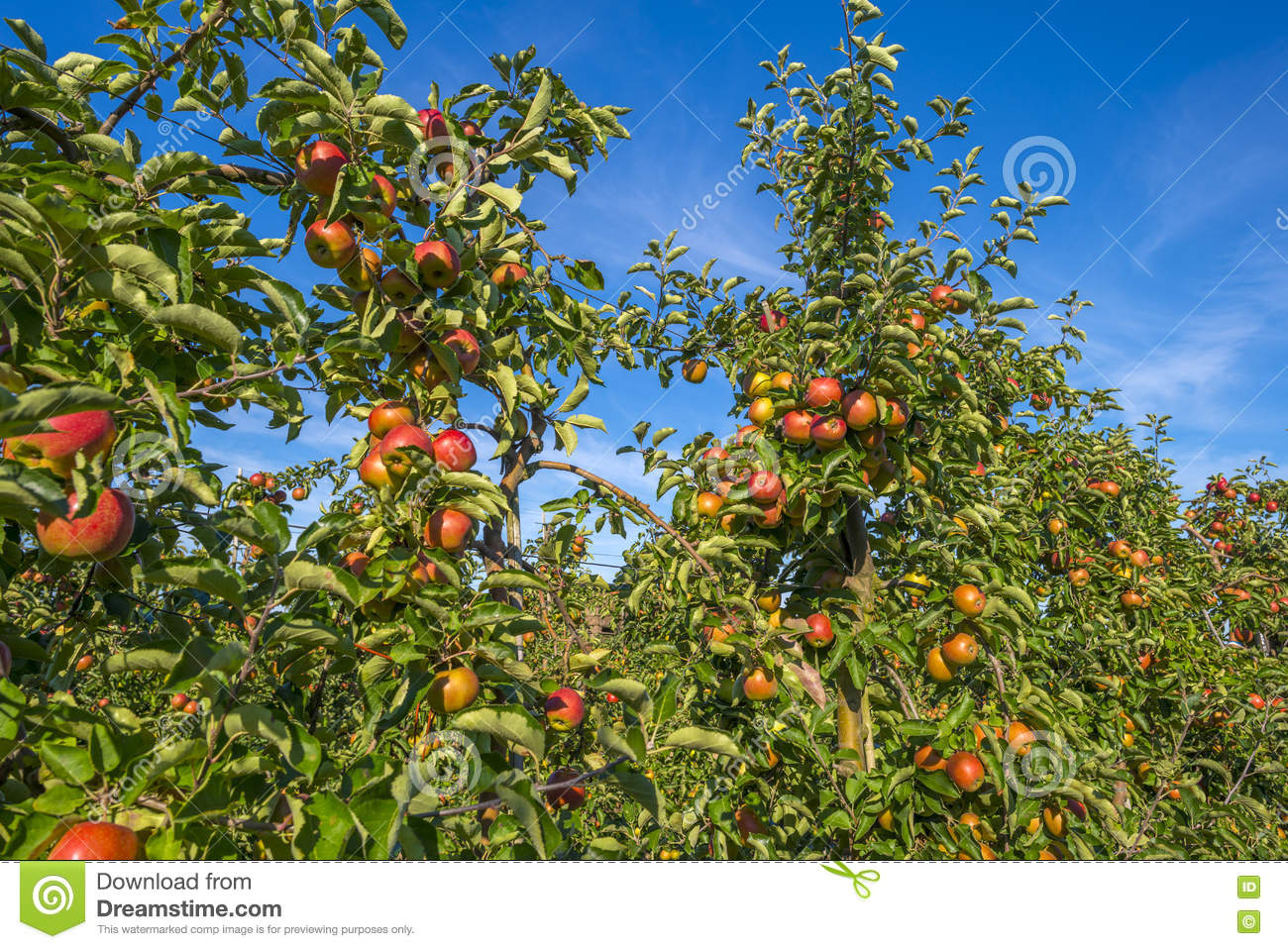 Orchard with apple trees in a field