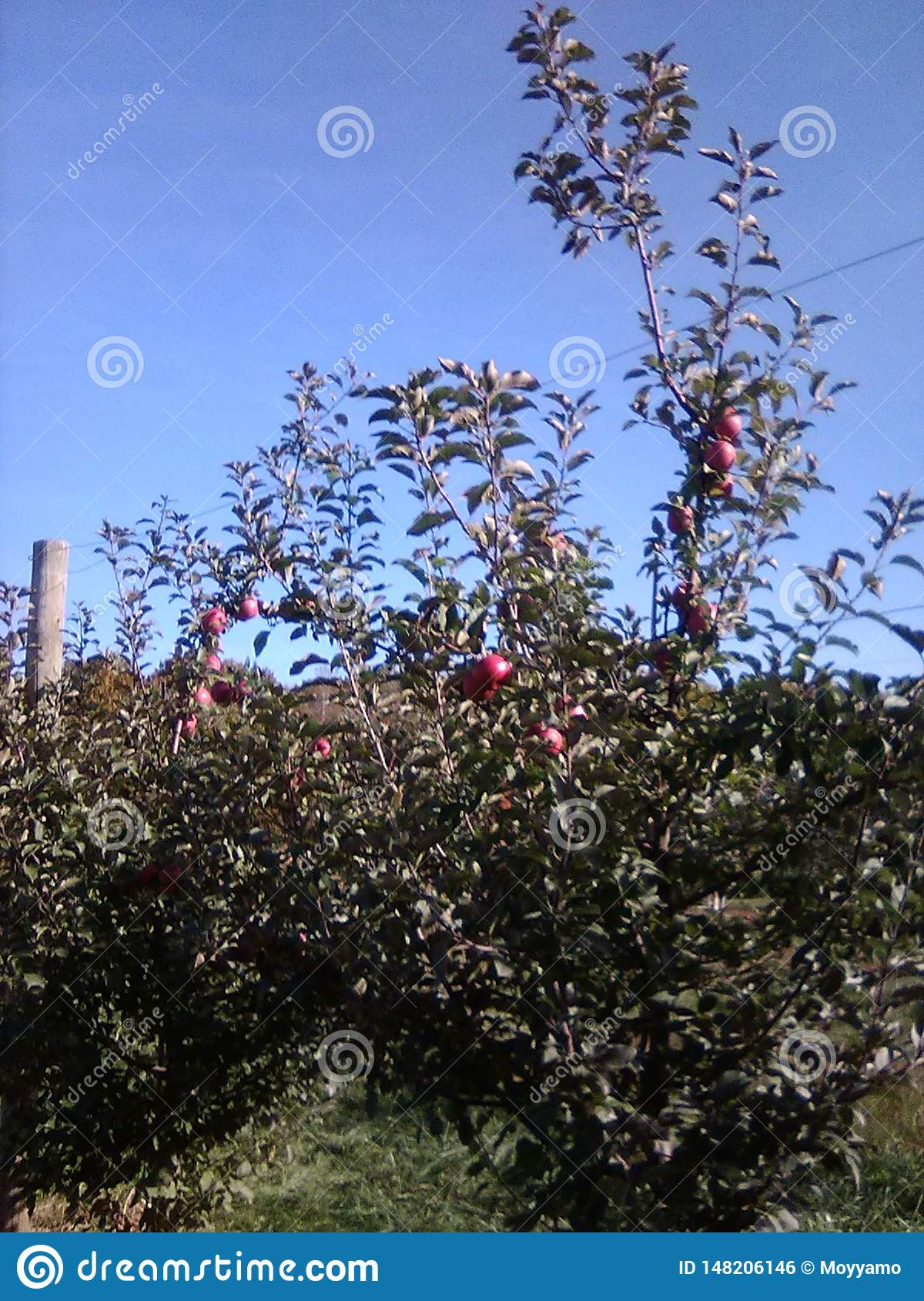 Orchard of apples