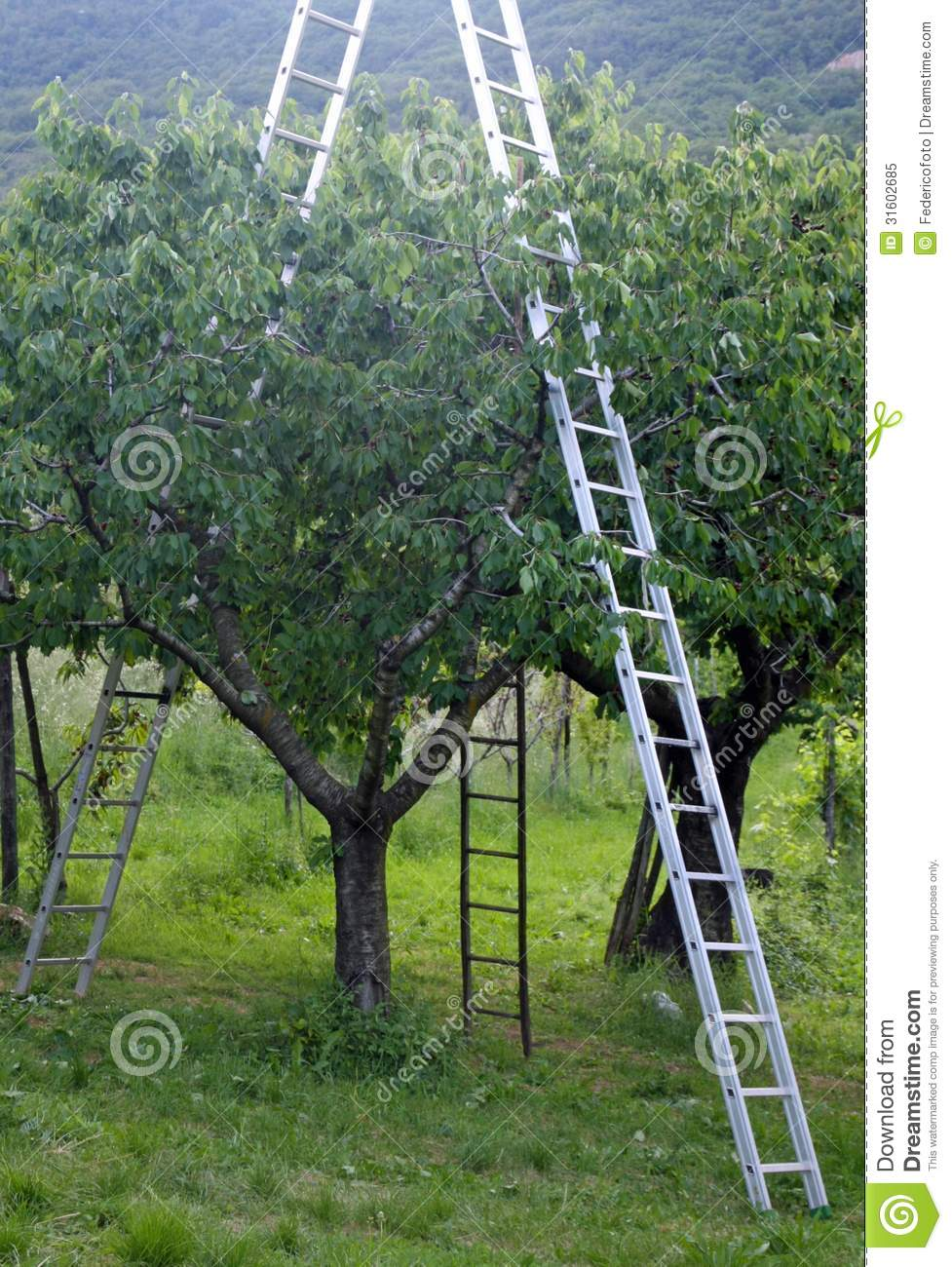 Orchard With Ladder Propped To Fruit Trees During Harve