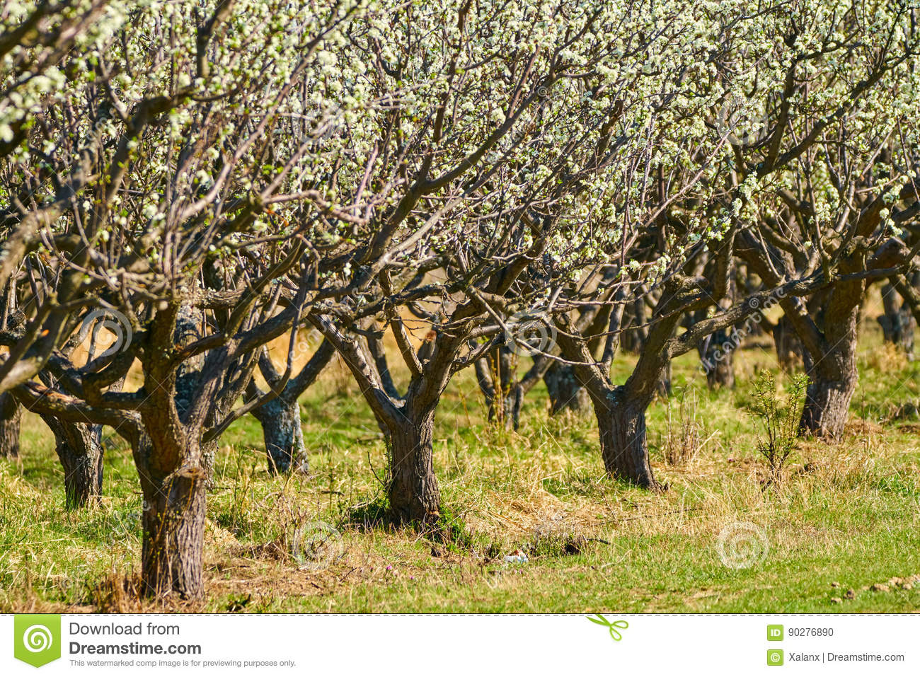 Orchard of plum trees stock photo. Image of garden, industry - 90276890