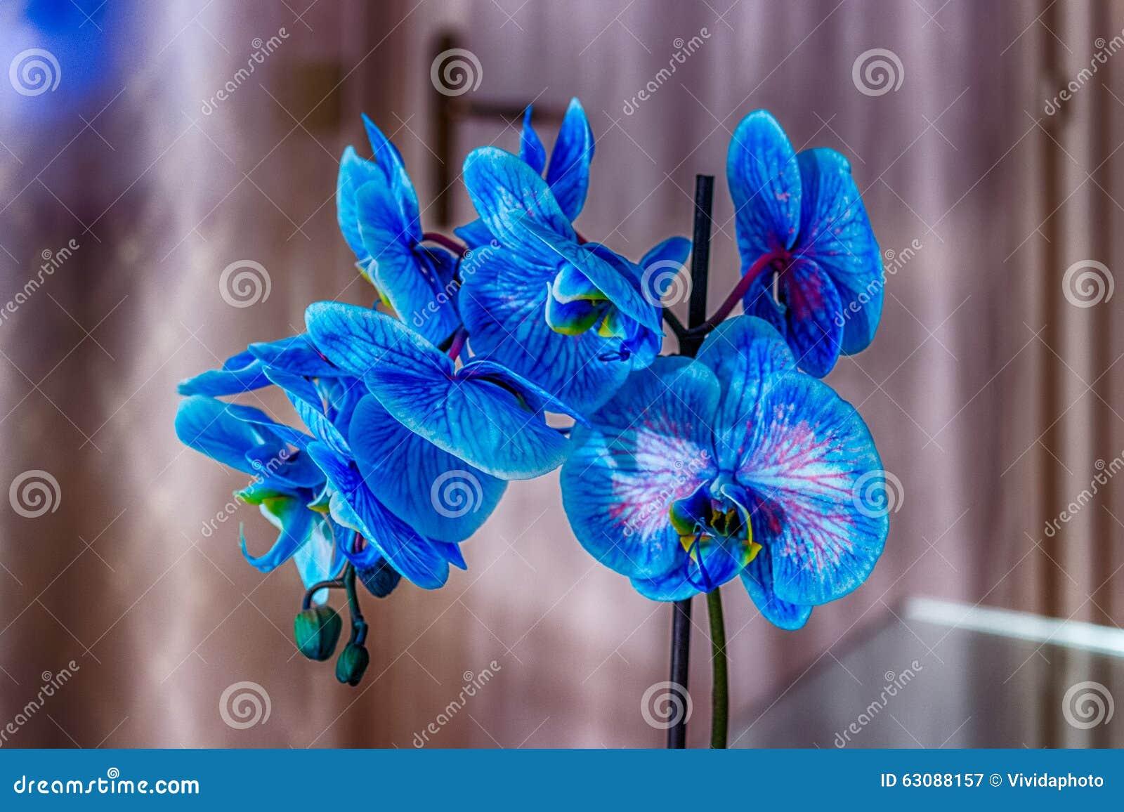 Download Orchidée bleue image stock. Image du fleur, pétale, closeup - 63088157
