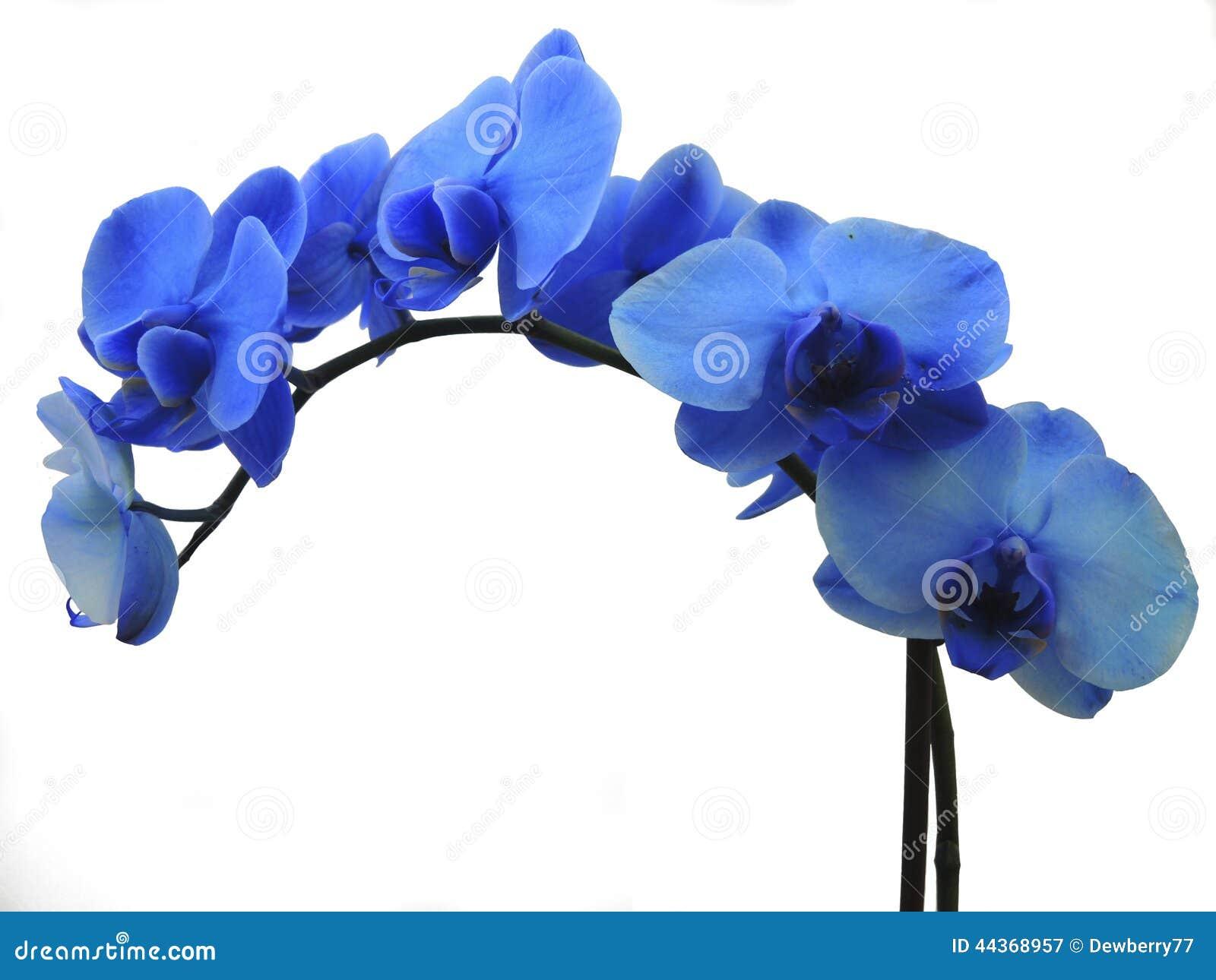 orchidee bleue et blanche