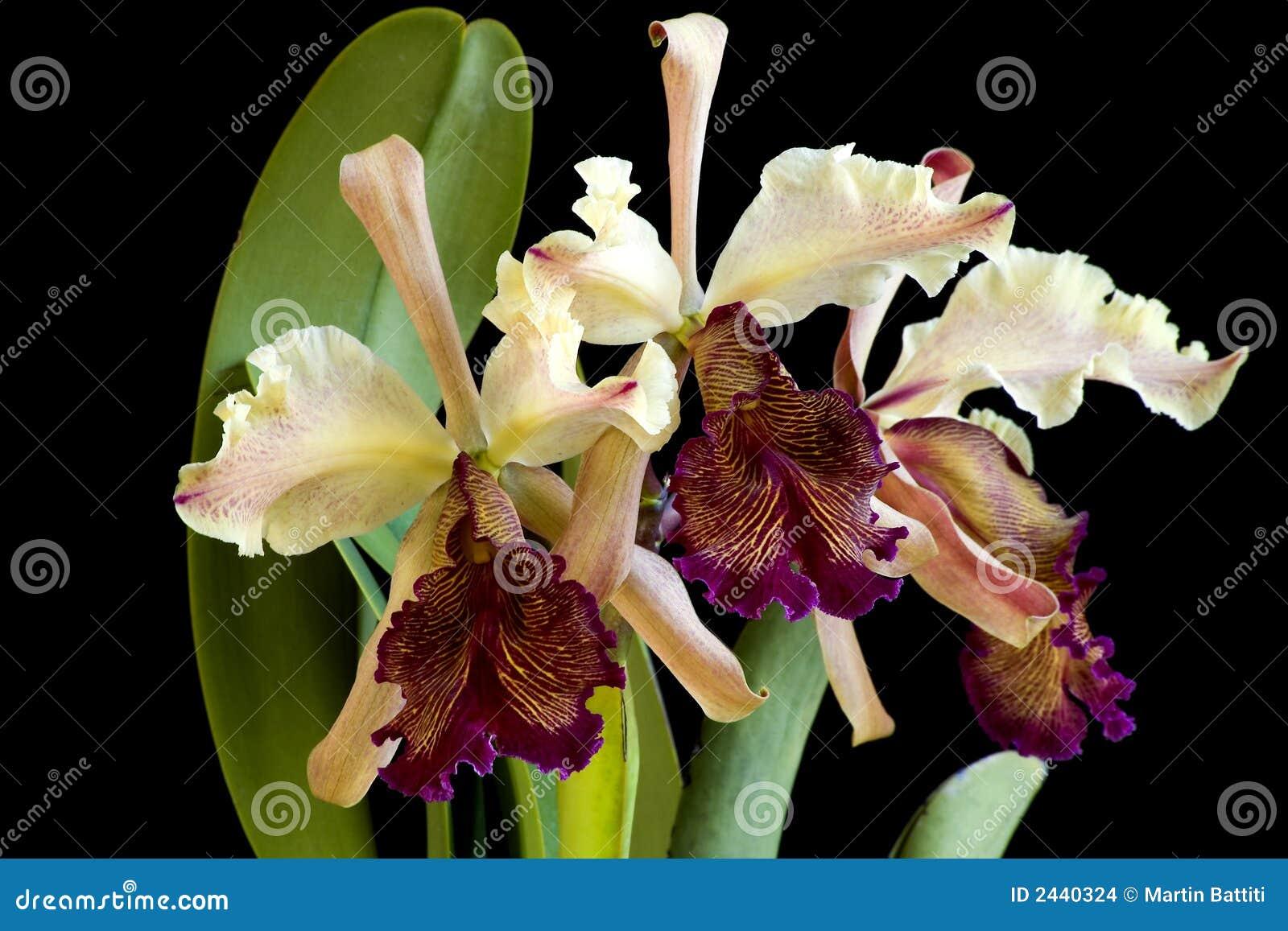 Orchidée de Dowiana