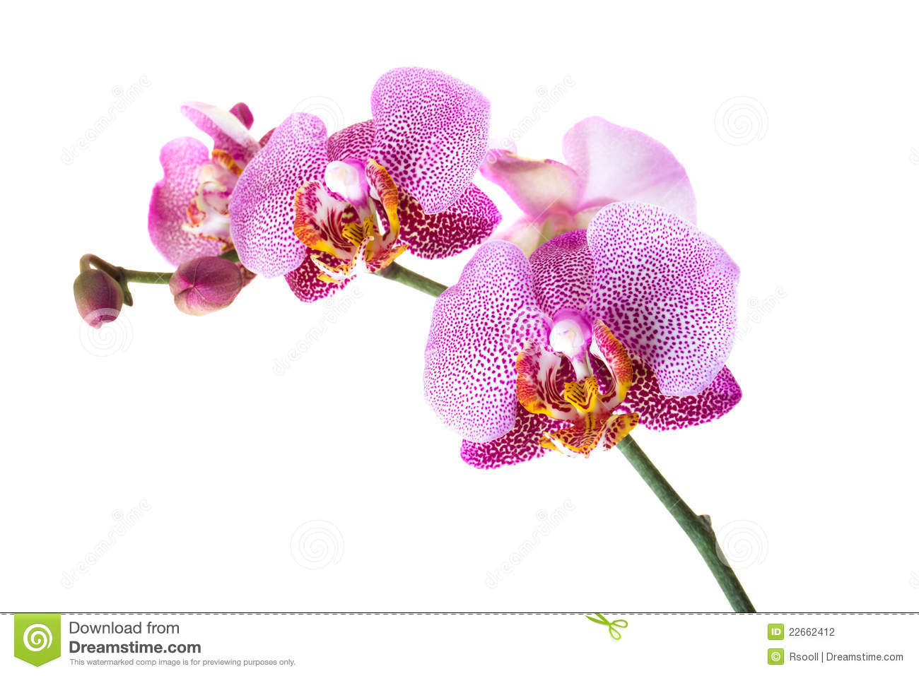 Orchidée Rose Photographie stock - Image: 22662412