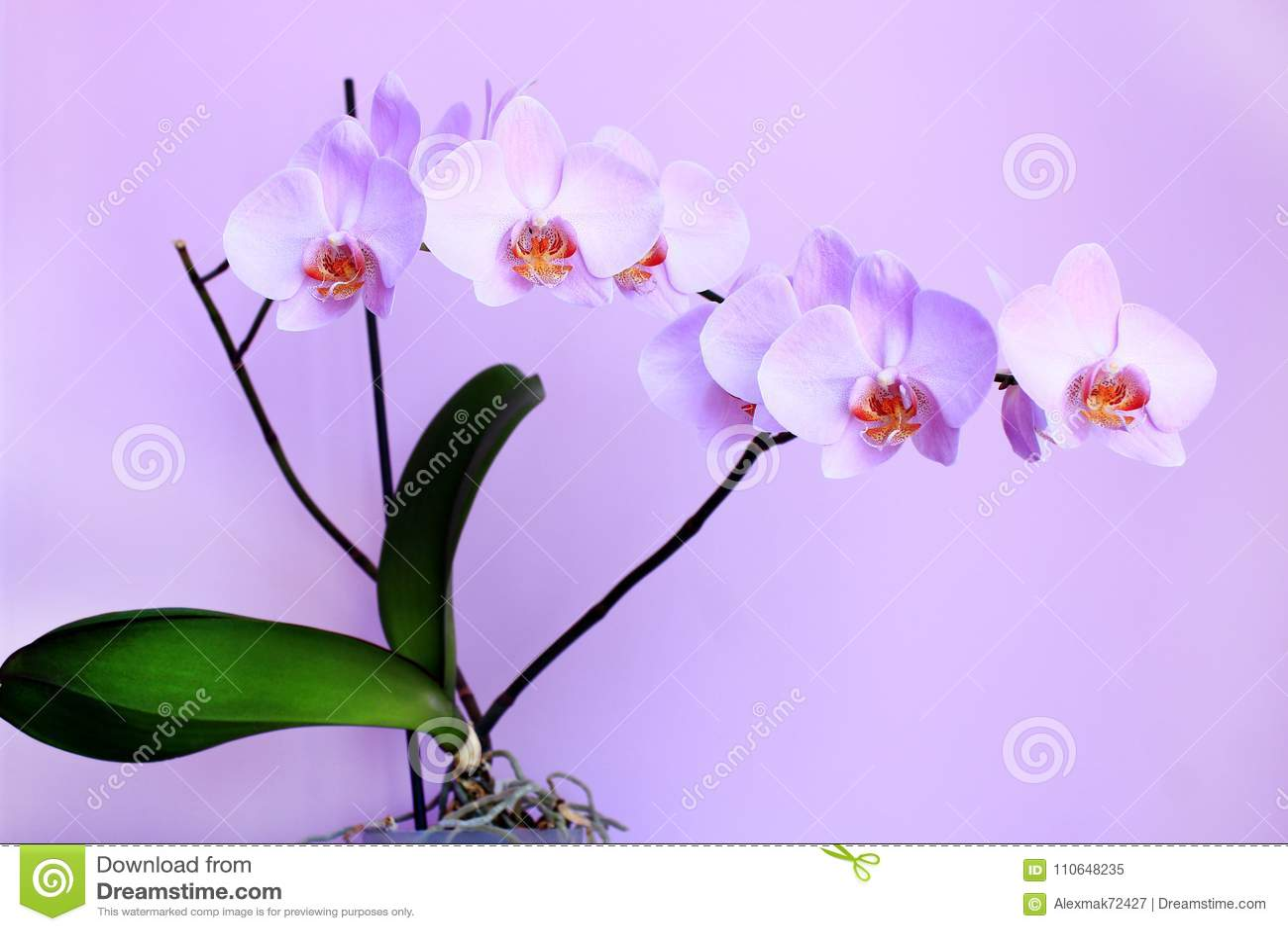 Orchidee Rose Branche De Fleur Decorative De Floraison Image Stock