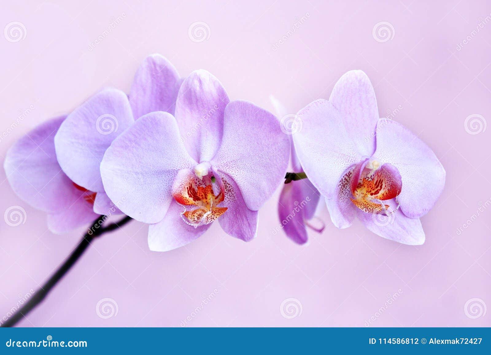 Orchidee Rose Branche De La Fleur Decorative De Floraison Photo