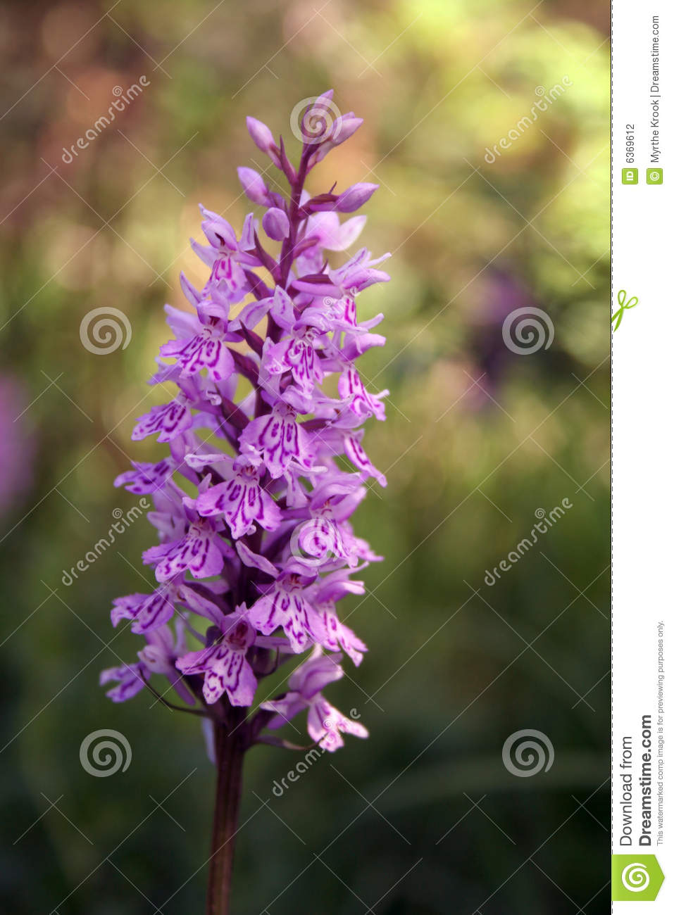 orchidee sauvage en provence