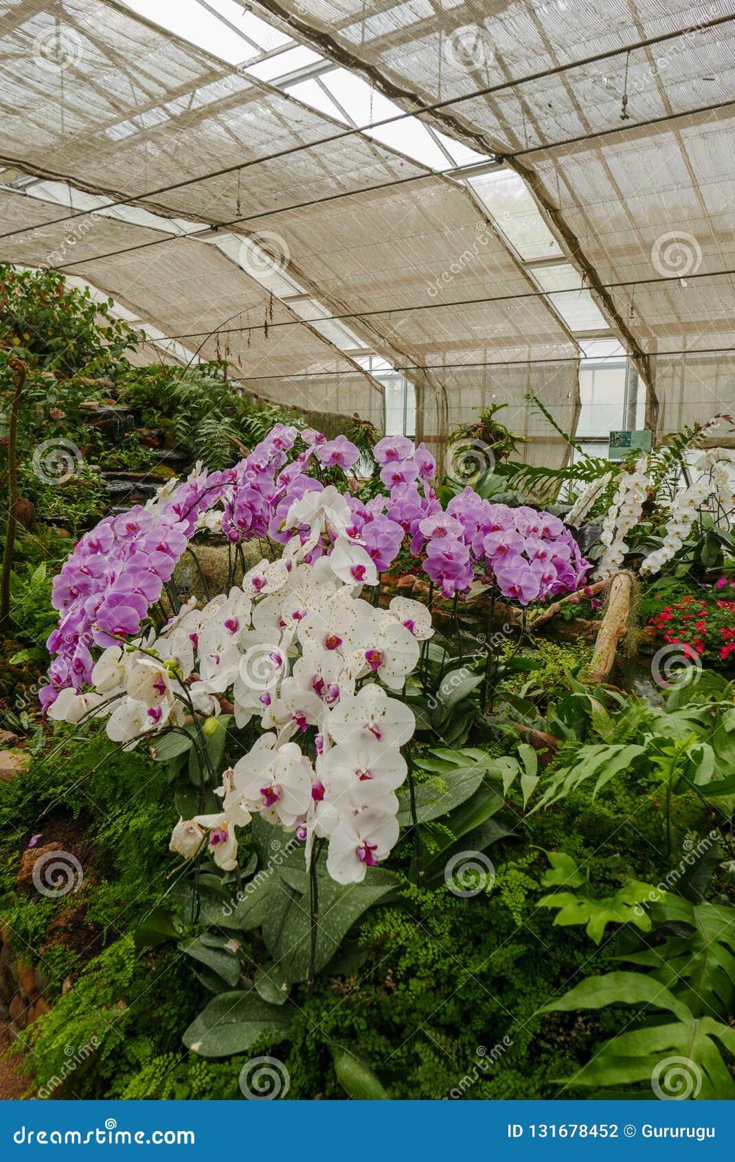 Orchidée Violette Et Blanche Dans Le Jardin Tropical Dans La ...