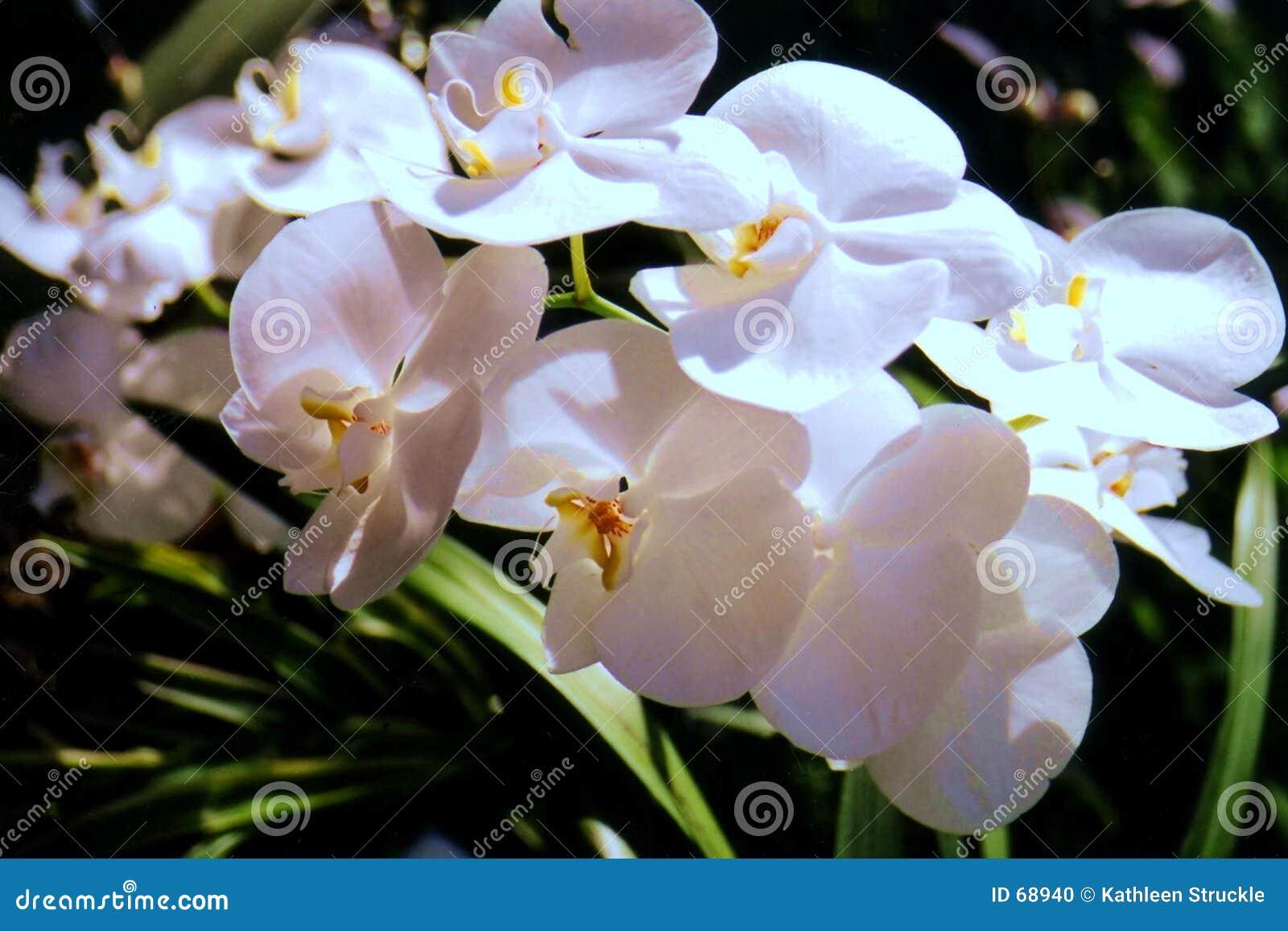 Orchidées d oxalide petite oseille
