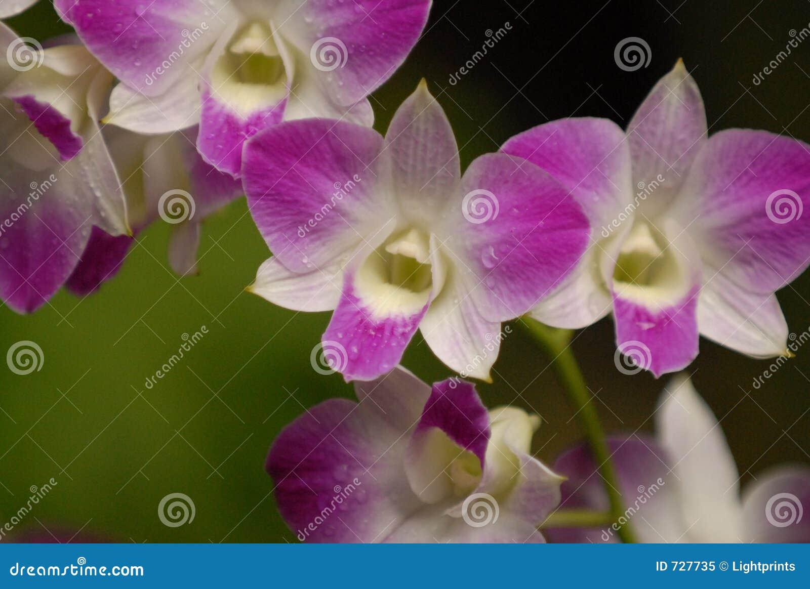 Orchidées pourprées