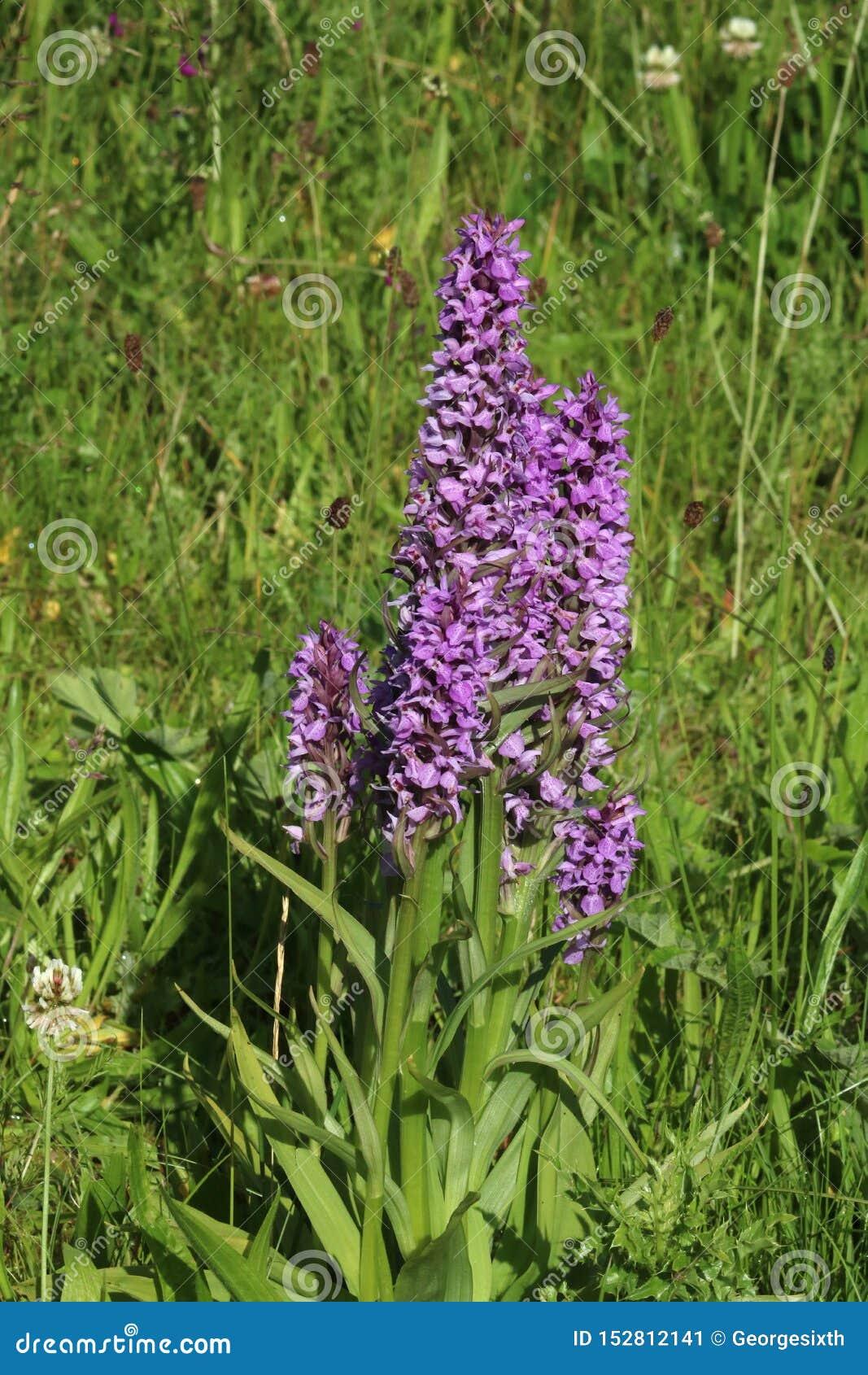 Orchidées pourpres, campagne anglaise de transitoires de fleur