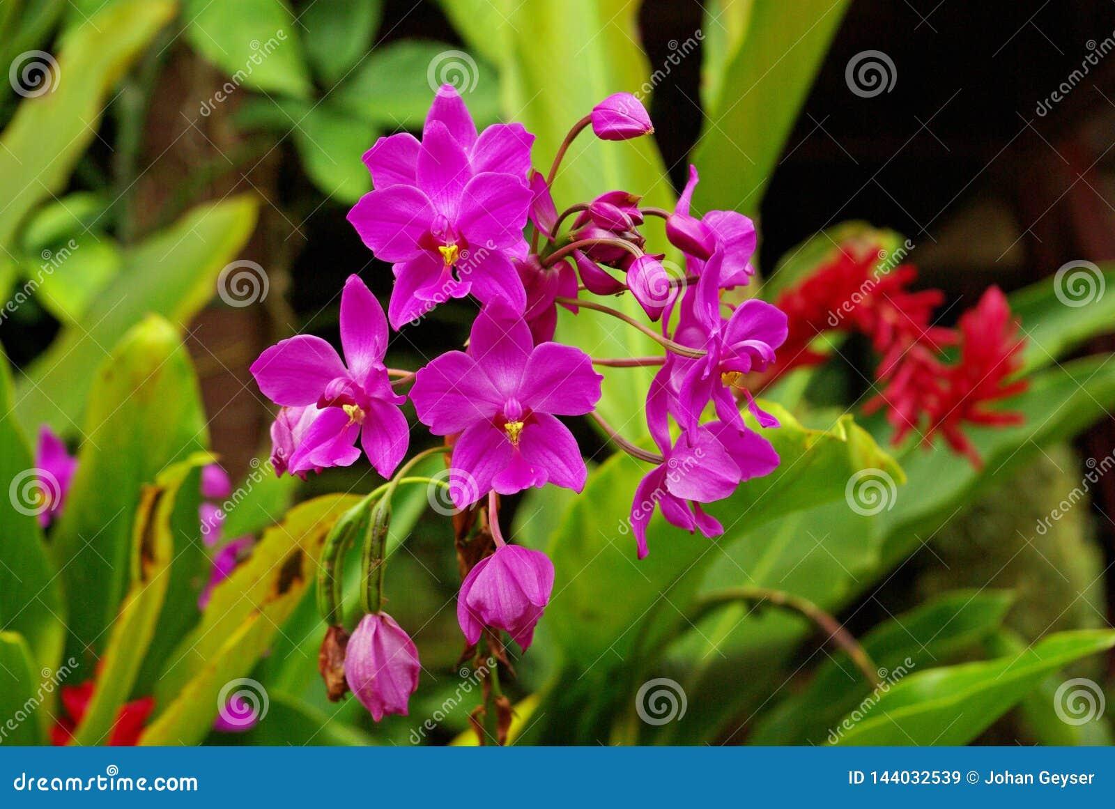 Orchidées pourpres s élevant sauvages sur l île de Sulawesi, Indonésie