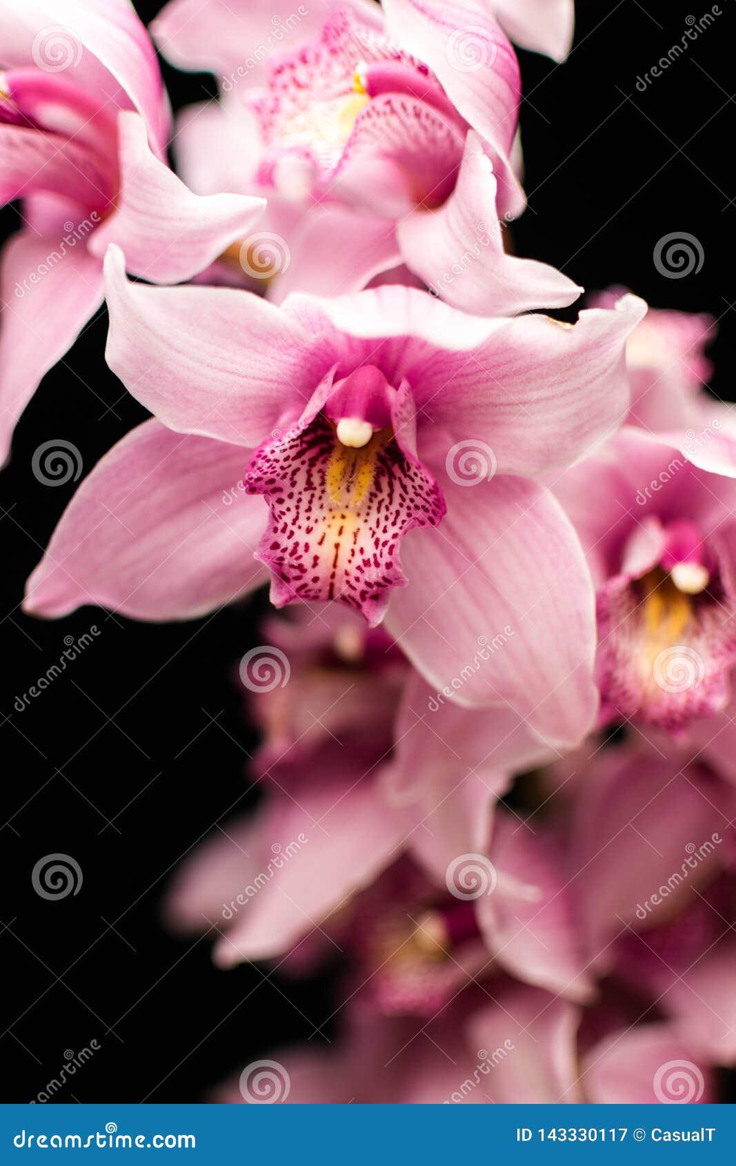 Orchidées roses, d isolement sur un fond noir