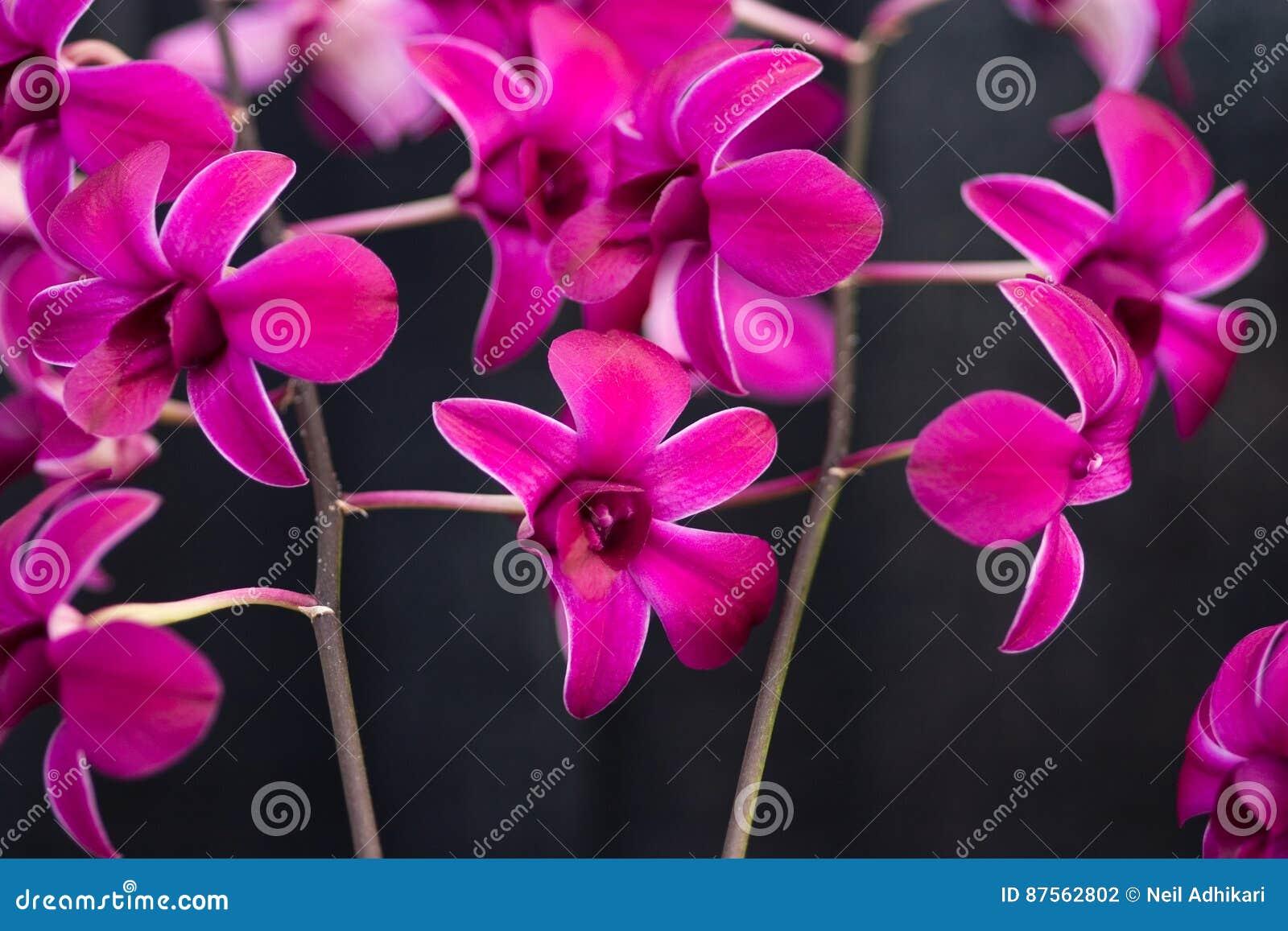 Orchidées roses exotiques
