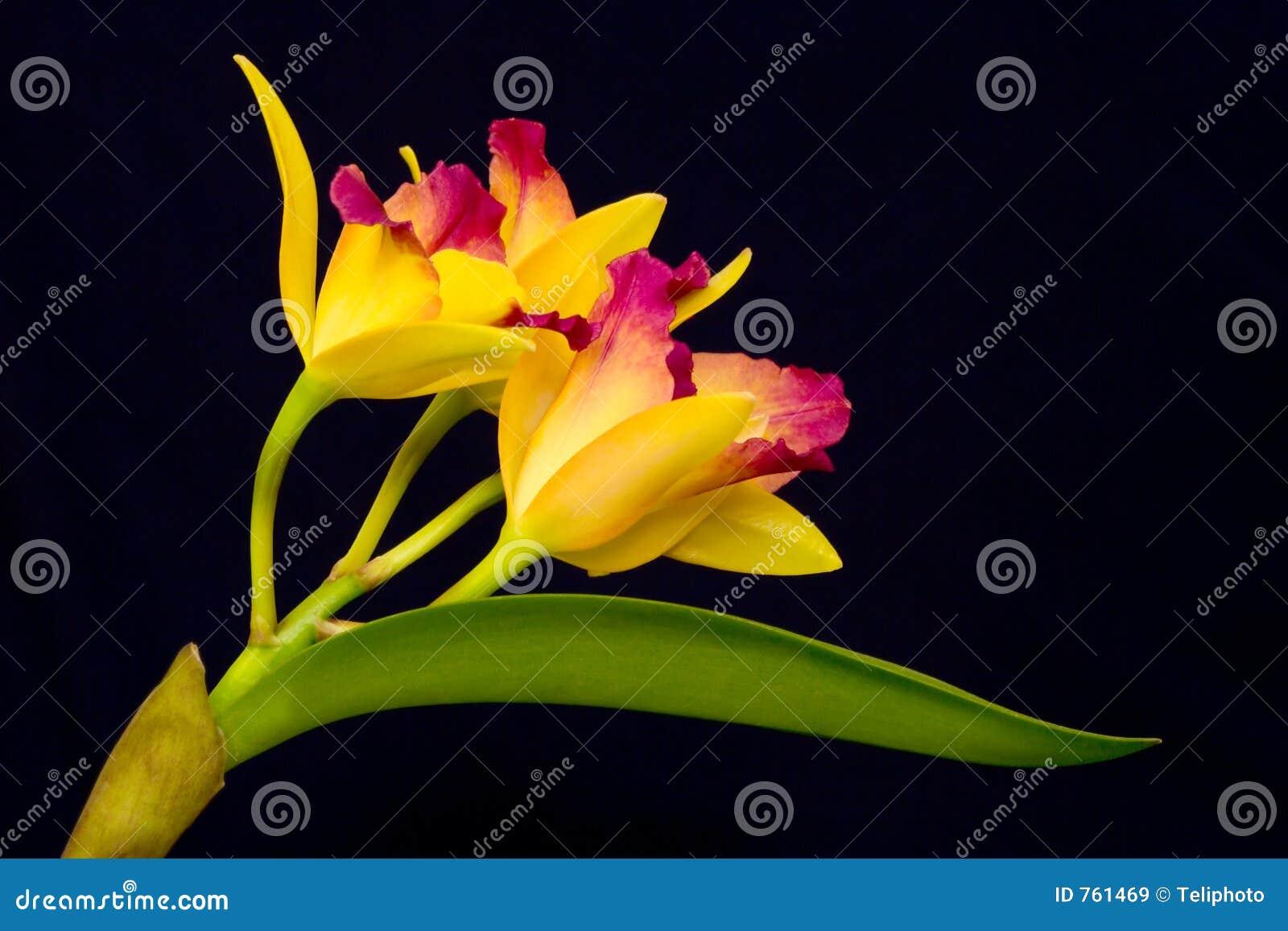 Orchid κίτρινο