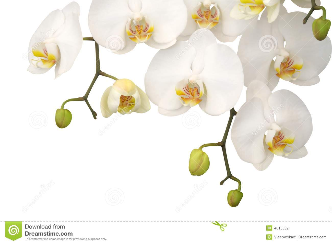 Orchid λευκό
