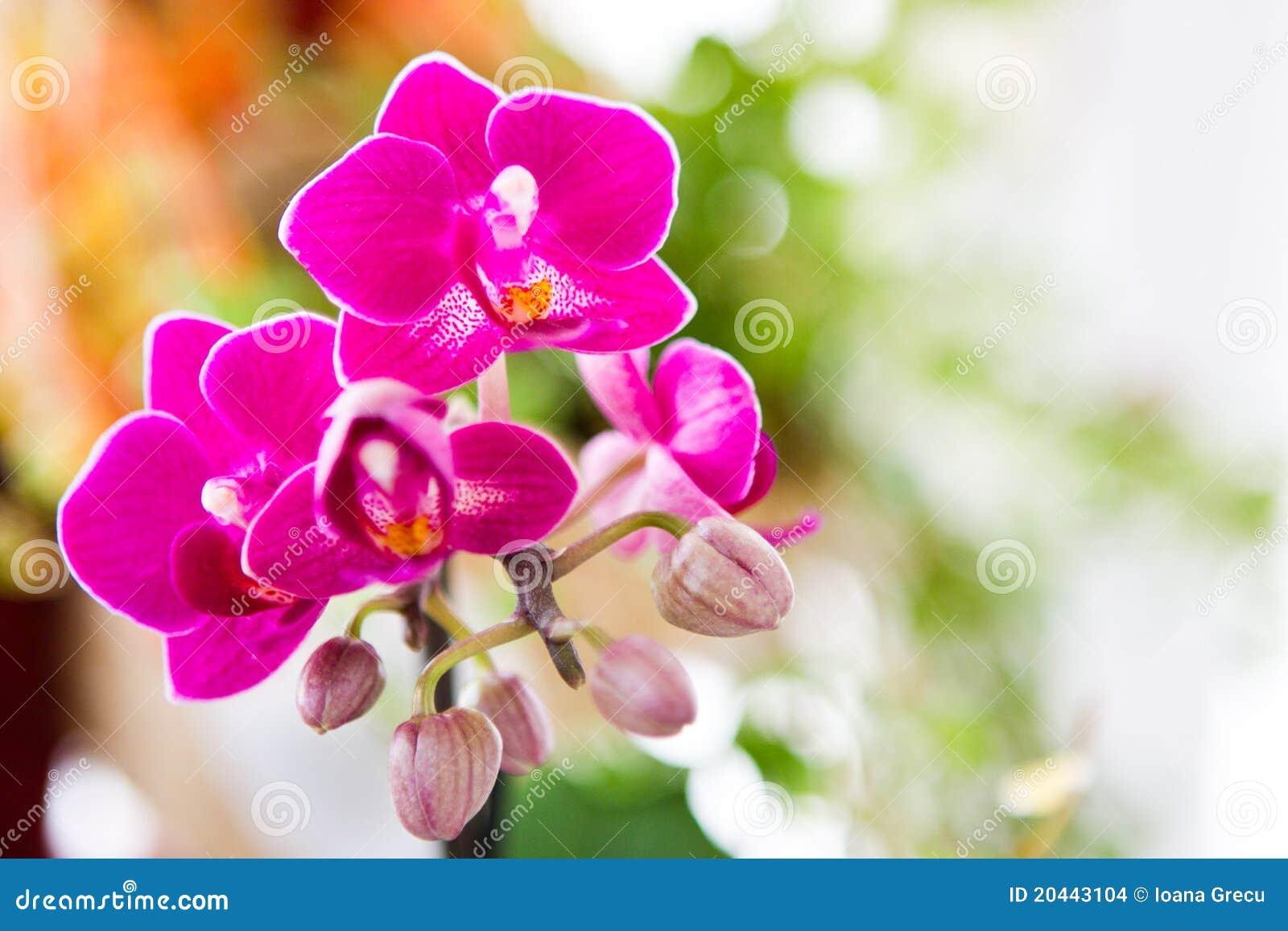 Orchid λουλουδιών ροζ