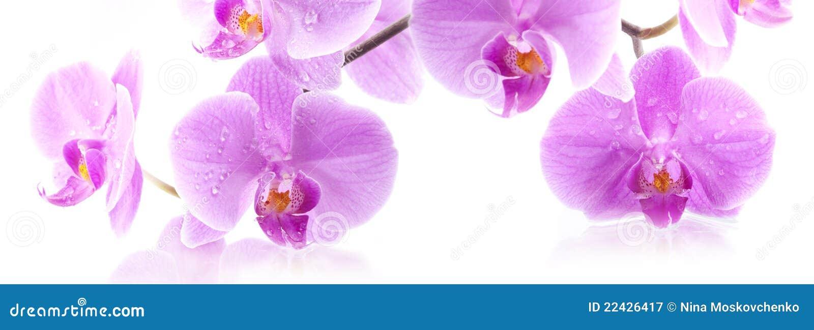 Orchid λουλουδιών