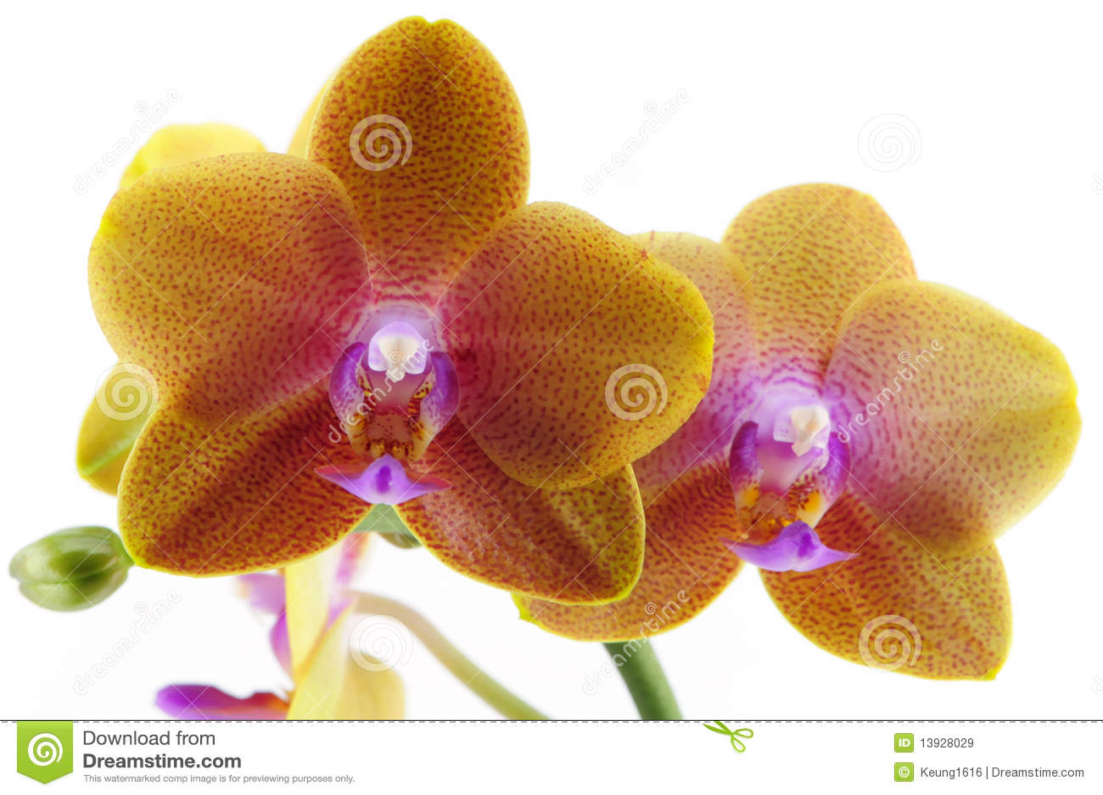 Orchid πορφυρό ενιαίο σημείο κί&ta