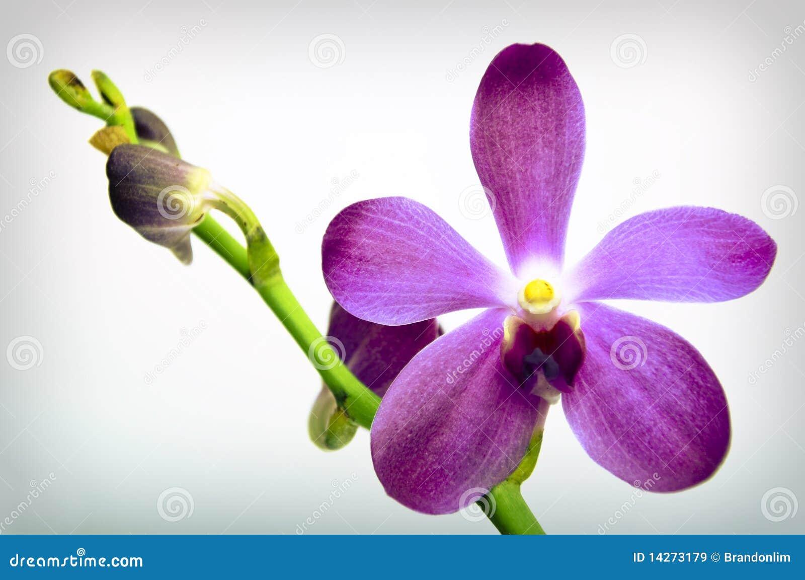 Orchid πορφύρα