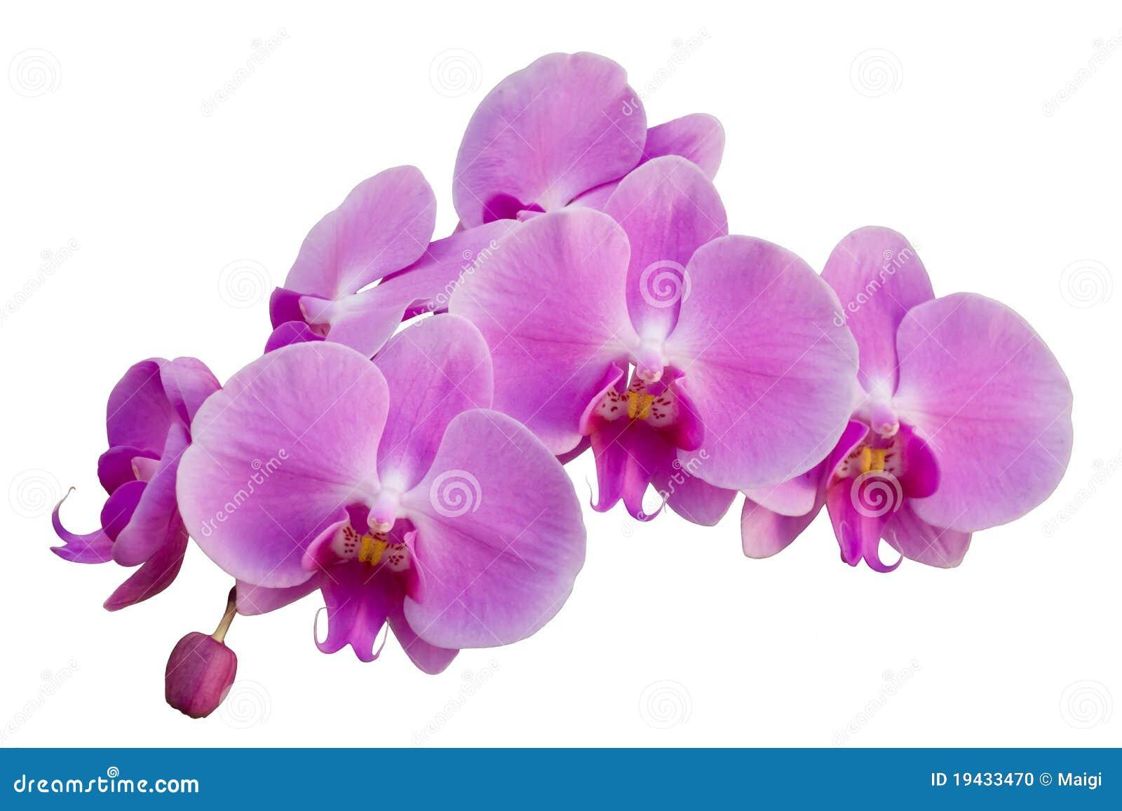 Orchid ροζ