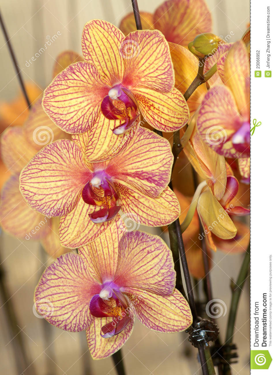 Orchid σκώρων