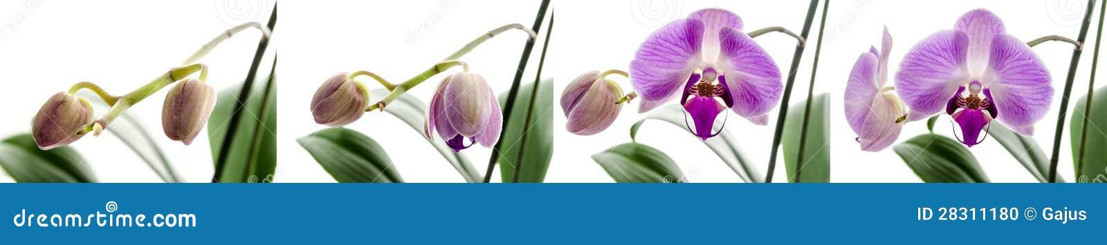 Orchid στάδια λουλουδιών της ανάπτυξης
