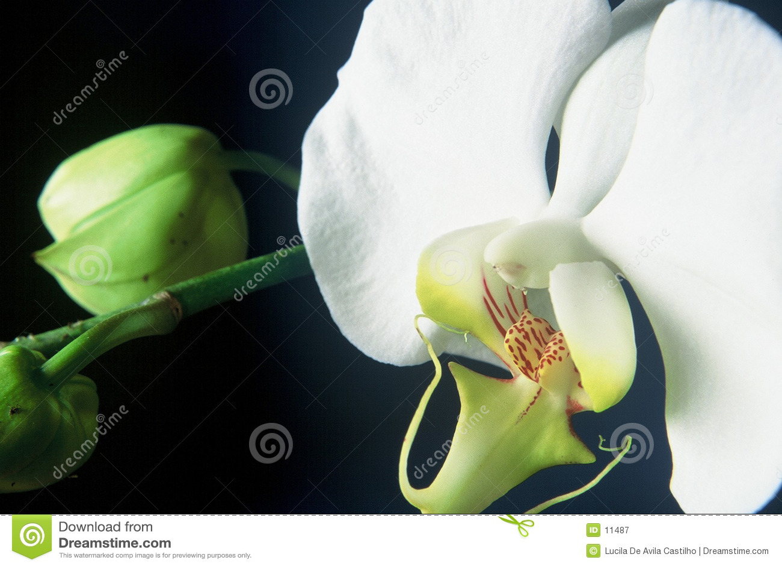 Orchid λευκό