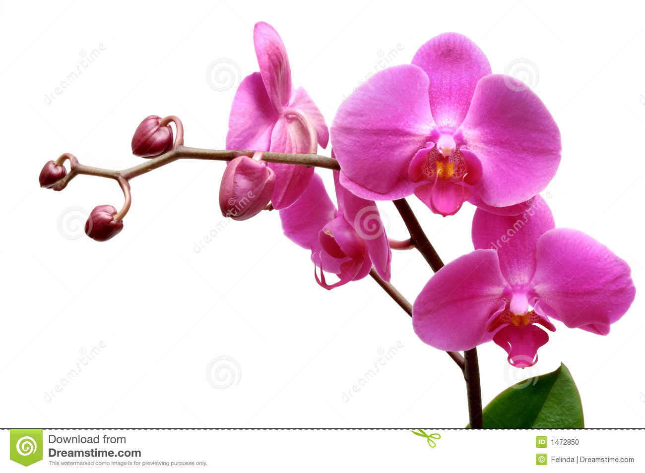 Blossoming orchid phalaenopsis isolated on white background