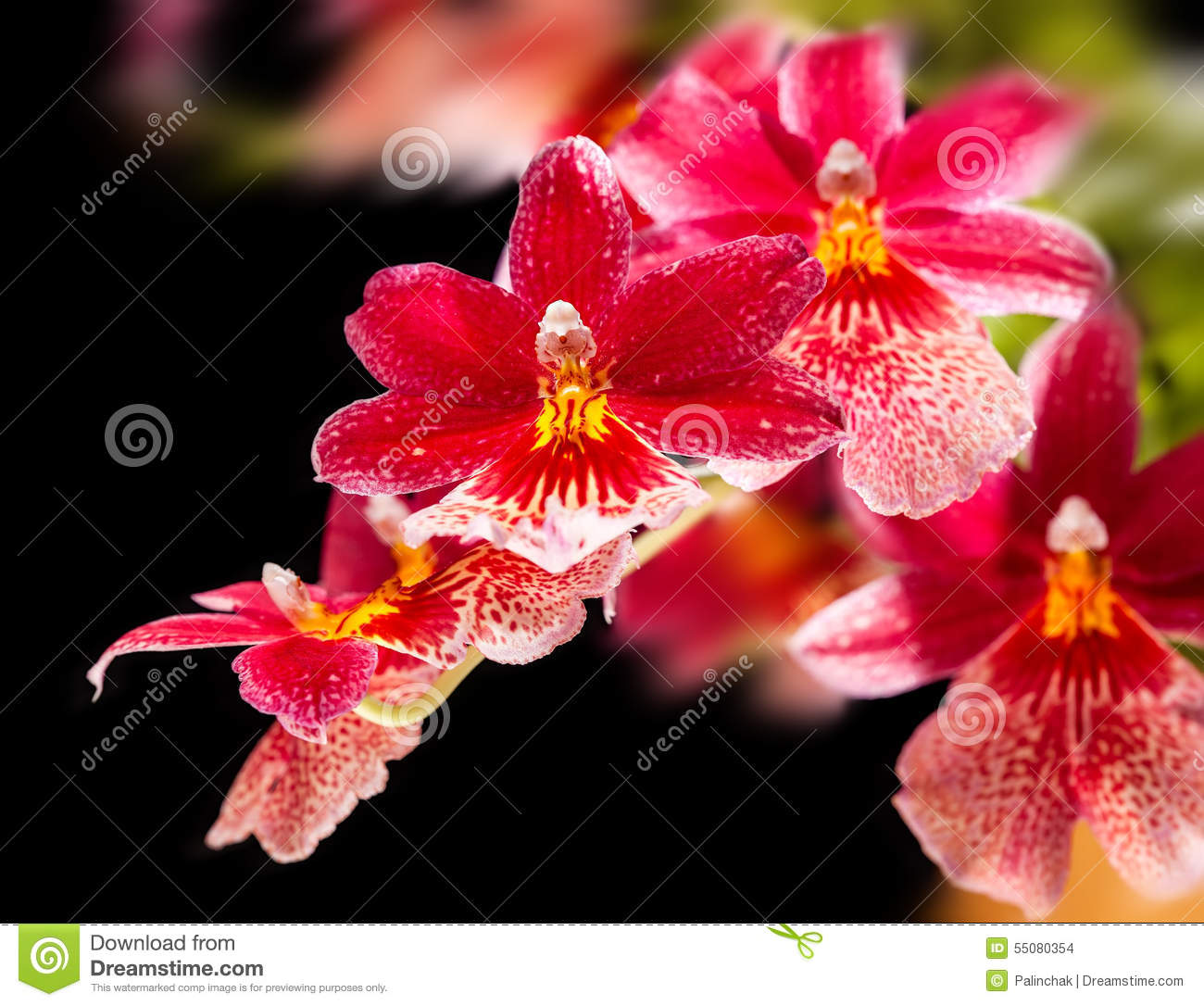 White Orchid Water Pink: Orchid Stock Photo. Image Of Flower, Japanese, Cambria